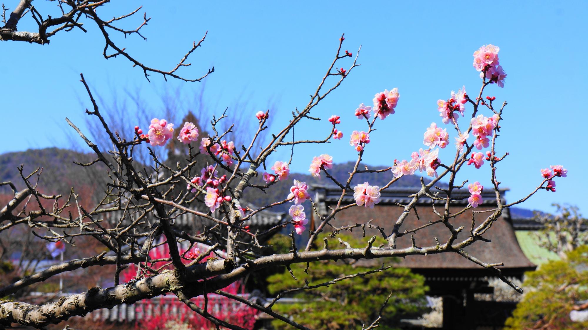 東神苑の咲耶池の島にある梅