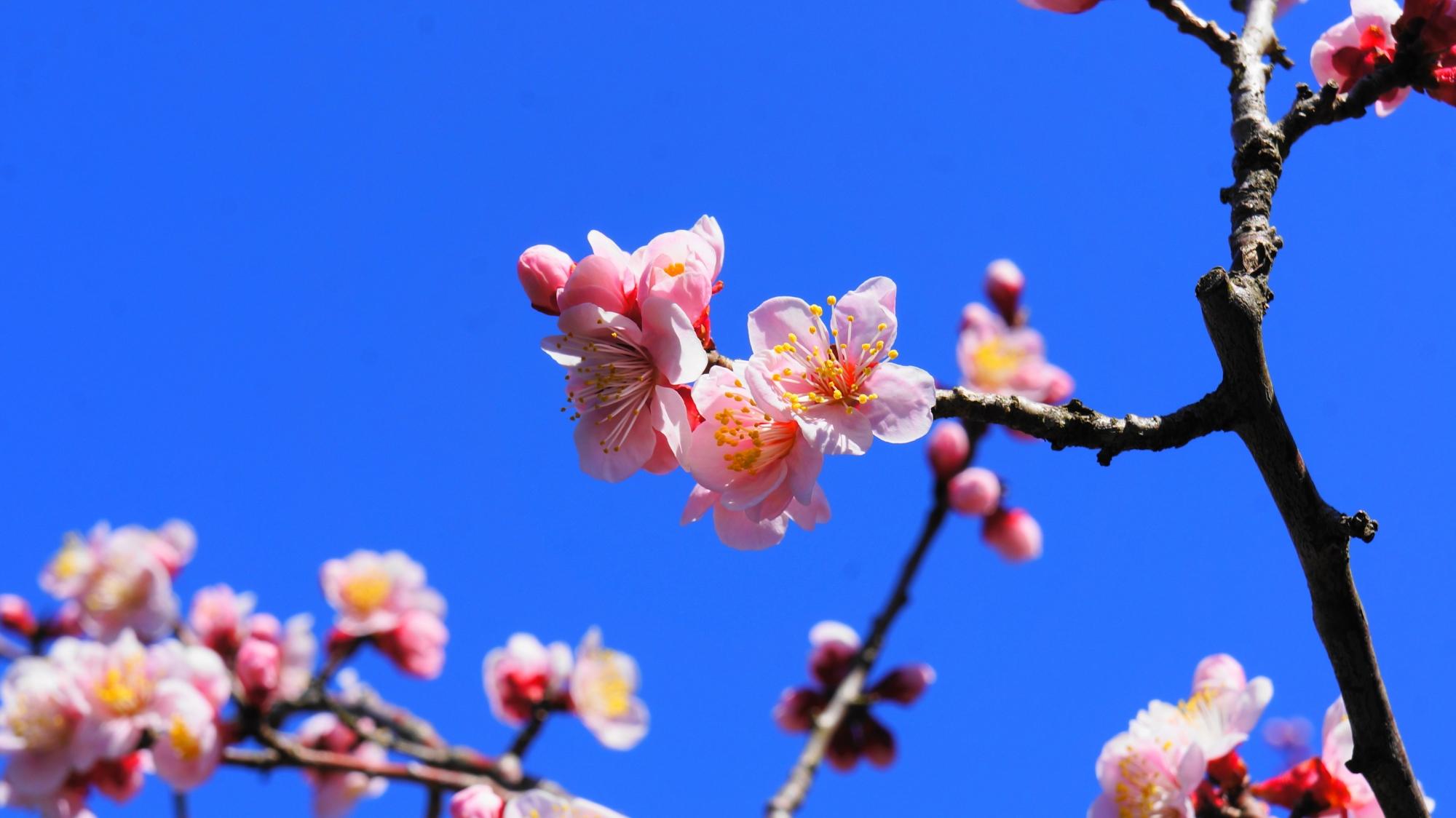 雲一つない青空に良く映える華やかなピンク