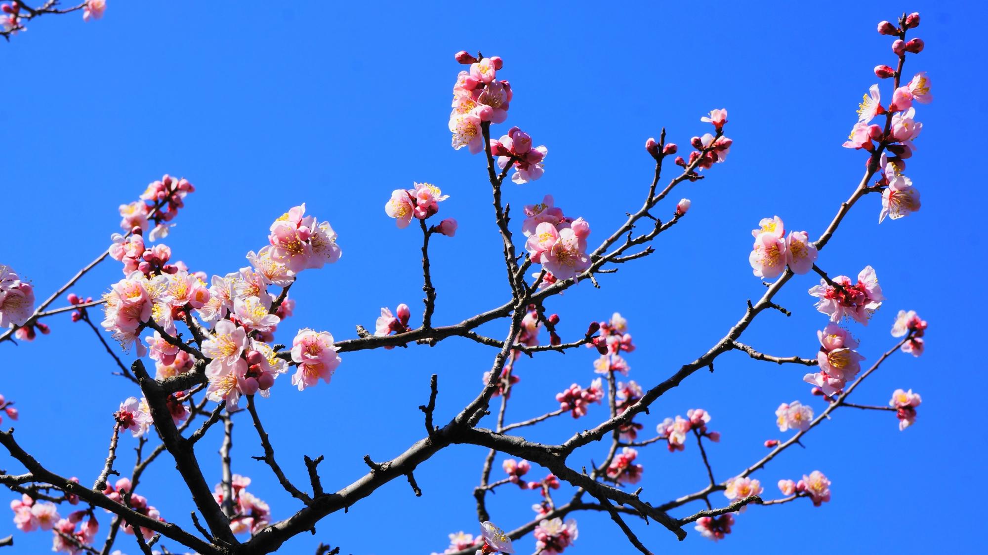 可愛い薄いピンク色の梅の花