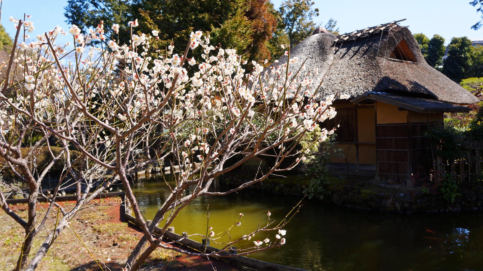 梅宮大社の東神苑の池中亭茶室の梅