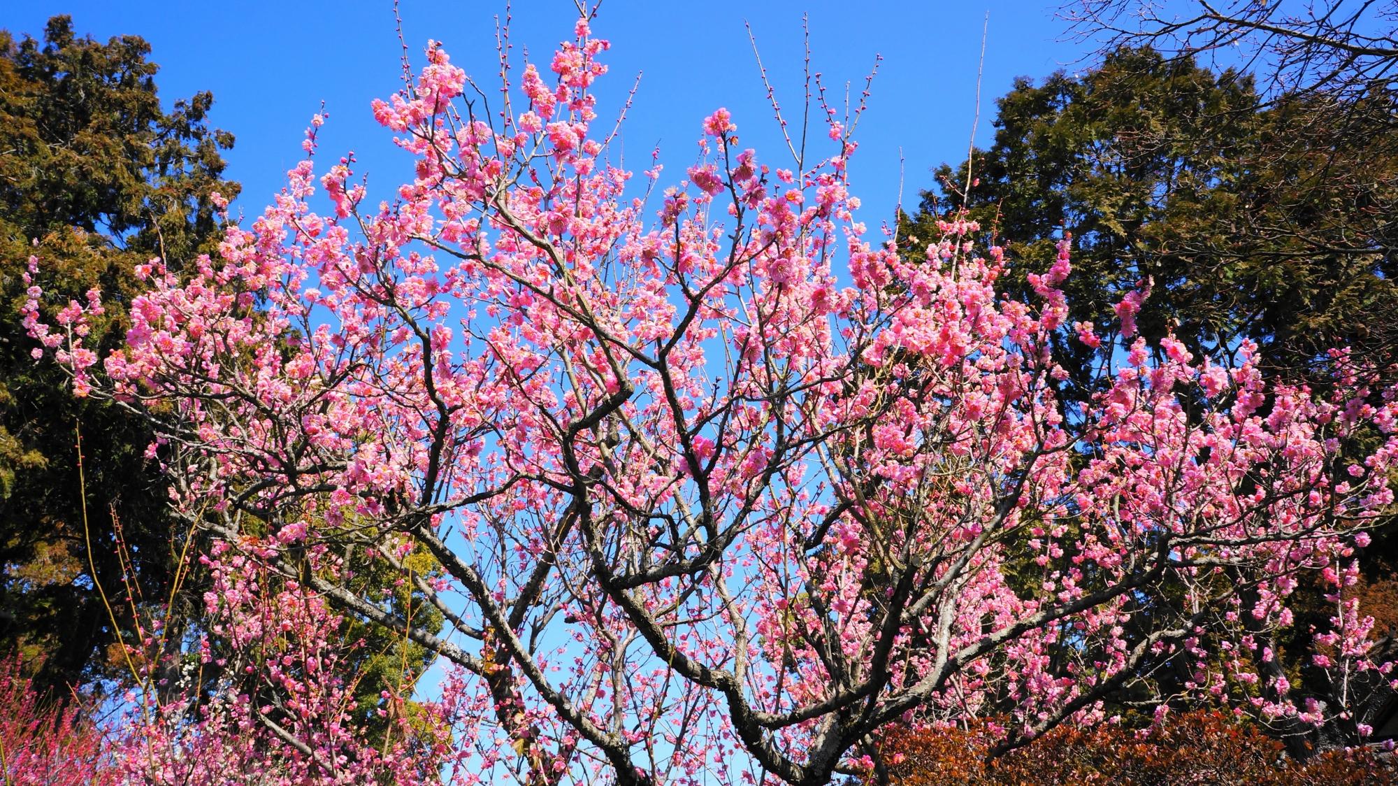 いろんな色の梅の花が見ごろの梅宮大社の神苑