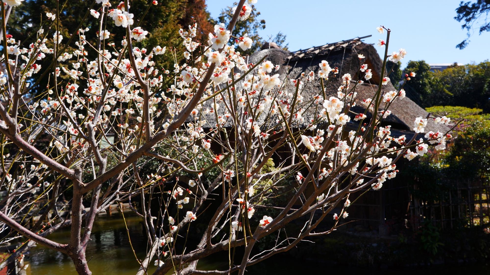 茶室を背景にした風情ある梅の景色