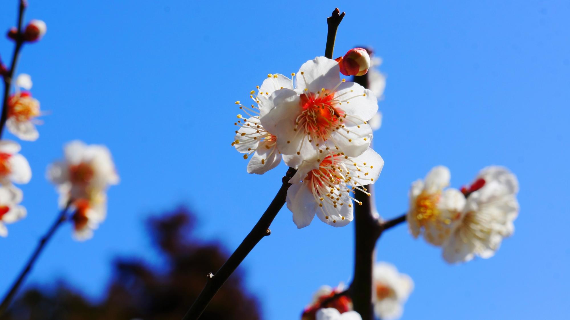 青空を華やかに染める白い梅の花