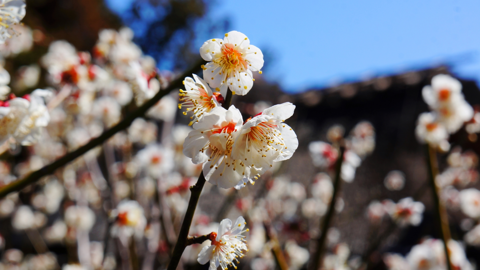 梅宮大社神苑に咲きそろう白梅