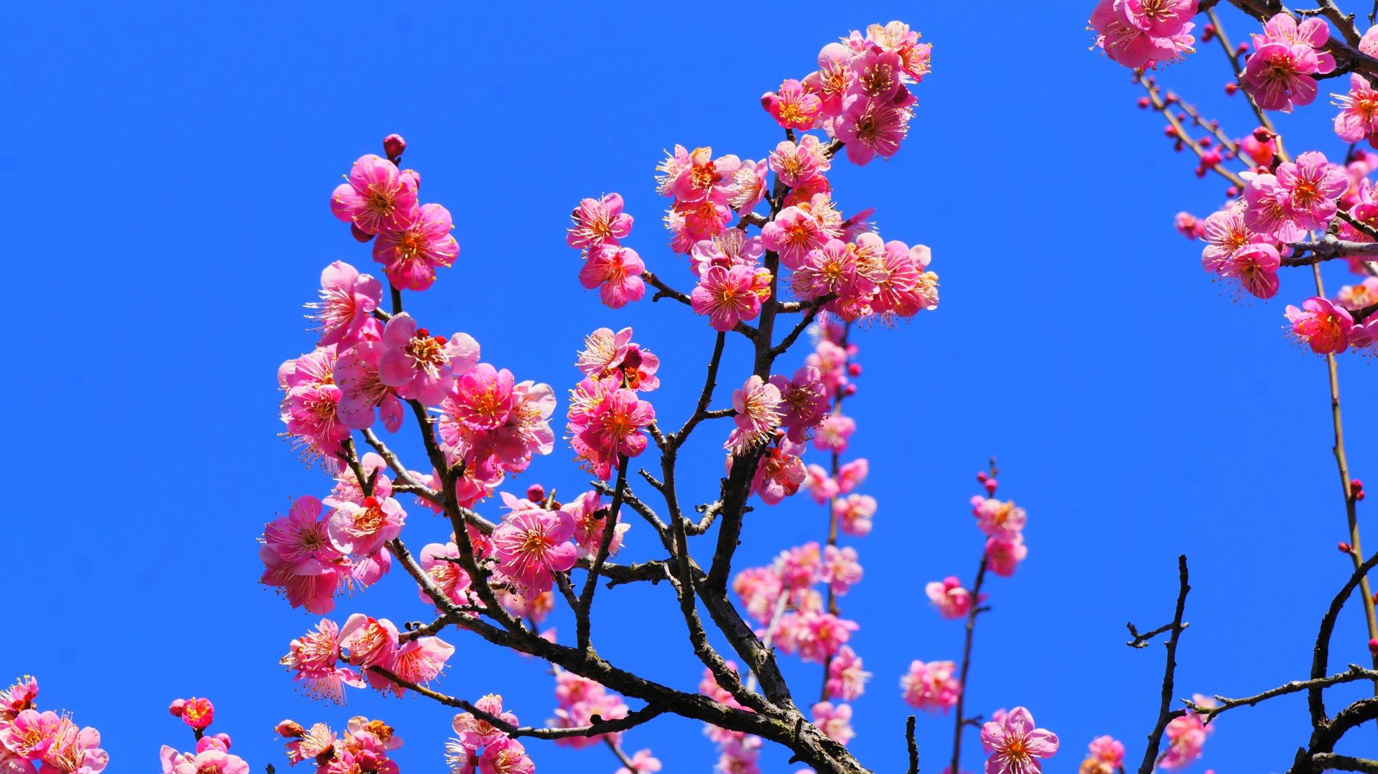 梅を引き立てる素晴らしい青空