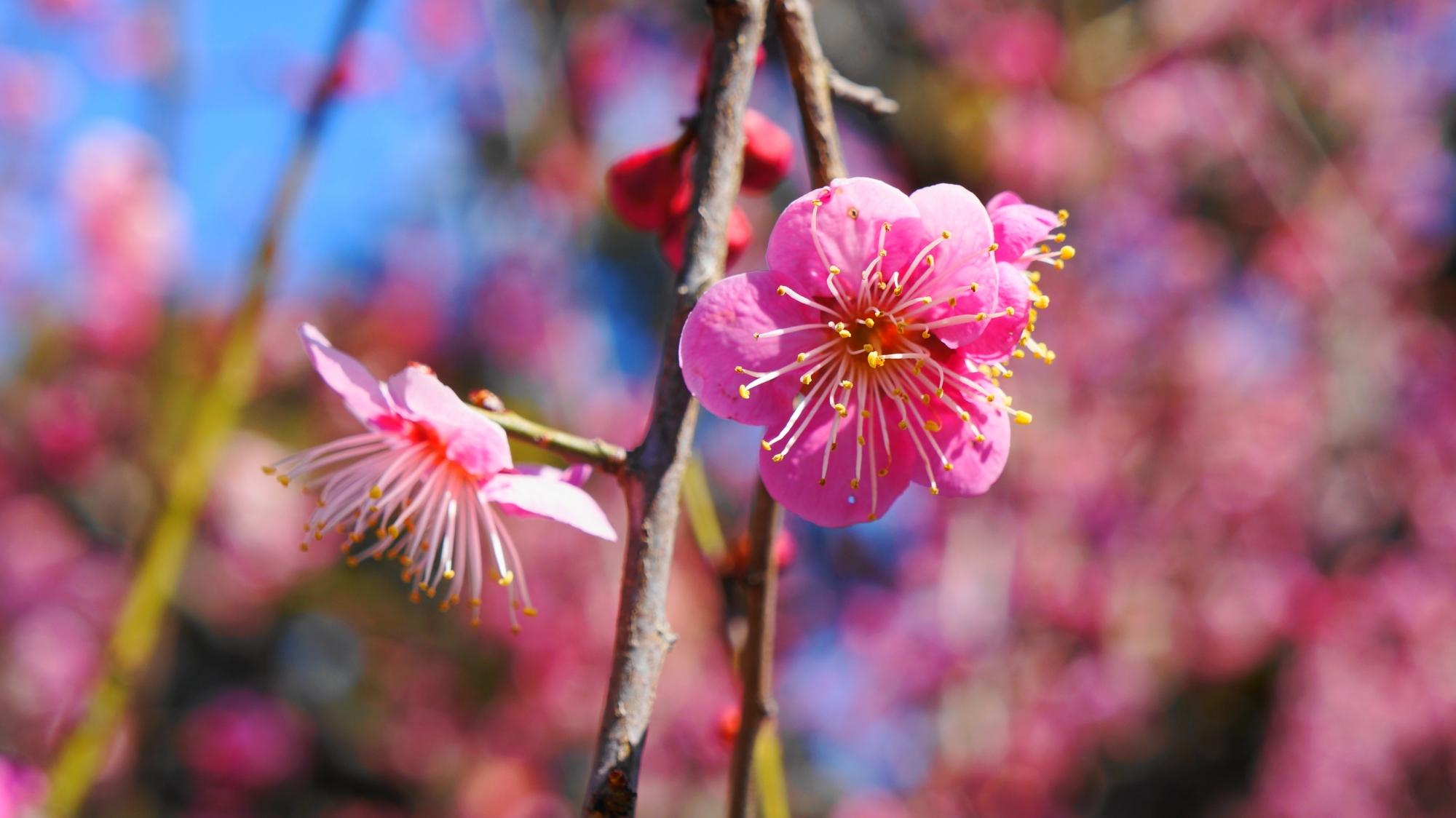 真っピンクの咲き誇る梅の花