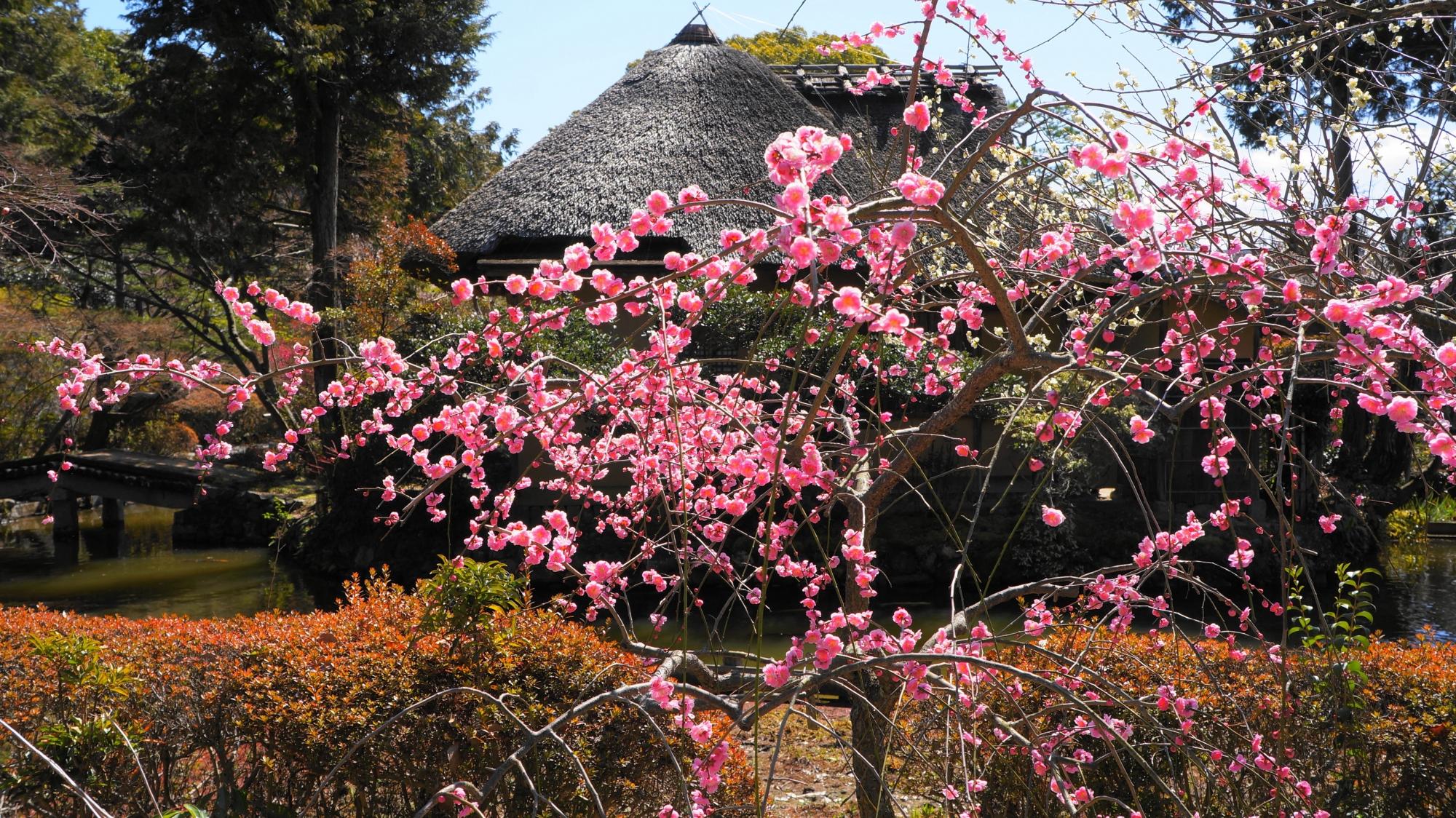 梅宮大社の池中亭茶室とピンクの梅