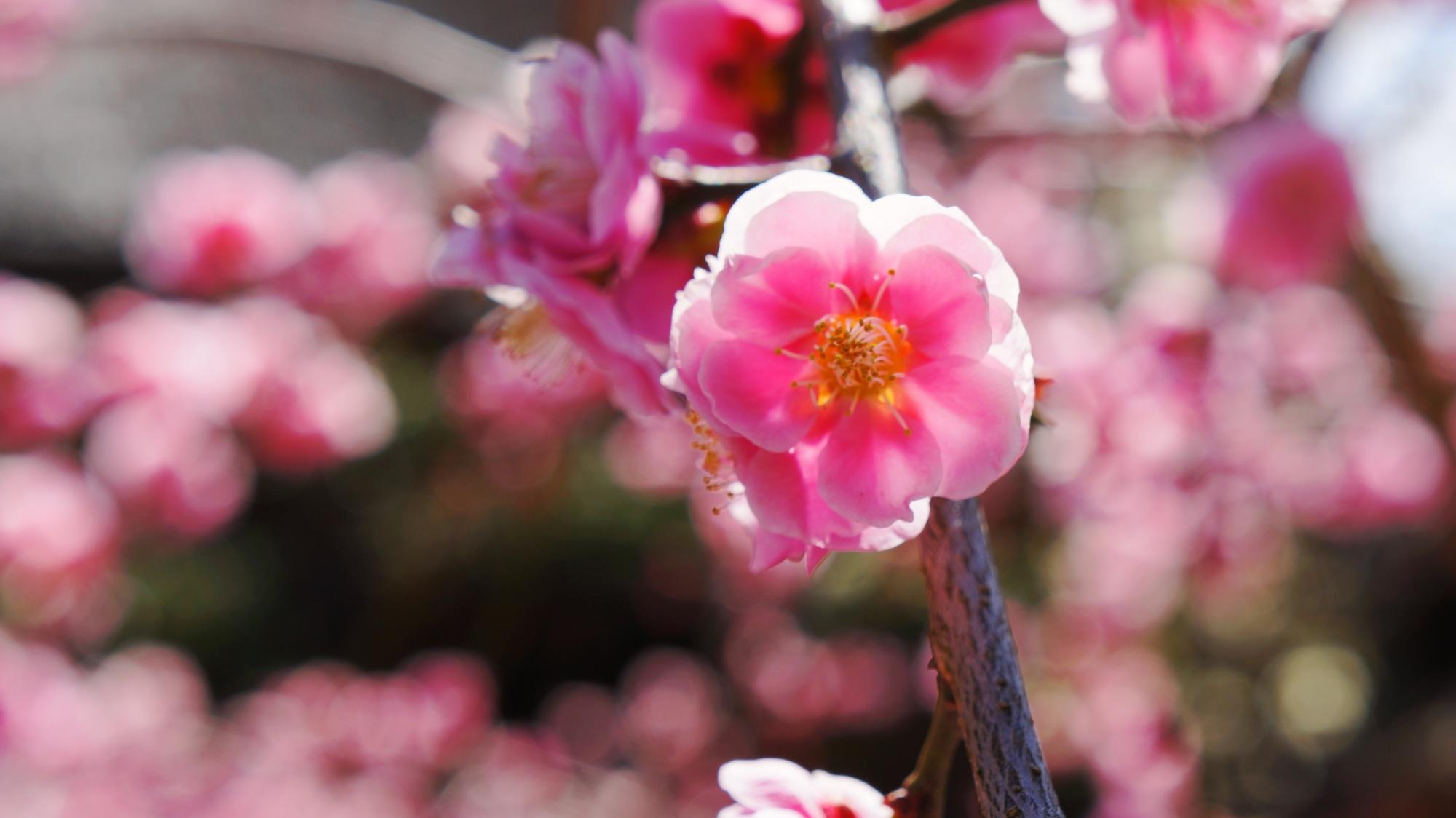見事に咲き誇る満開の梅の花