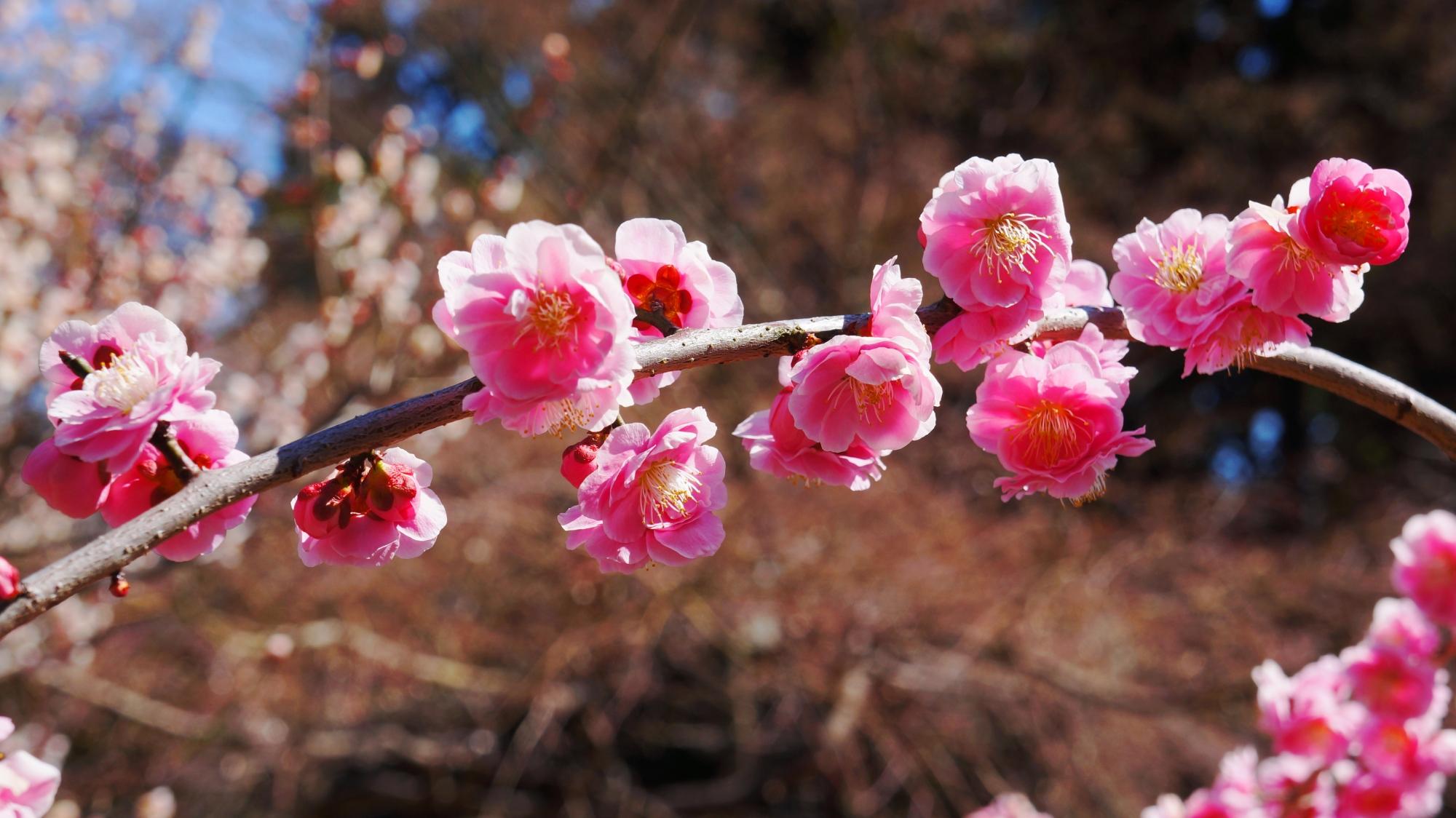 モコモコした感じの八重の梅の花