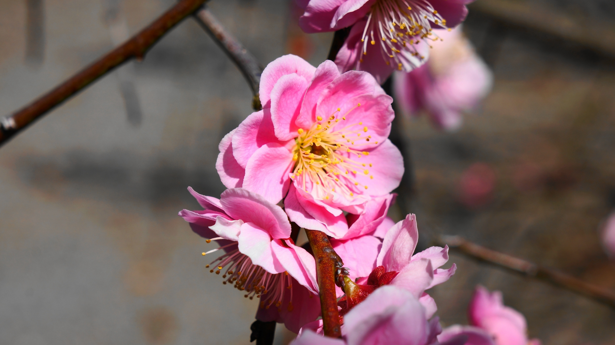 光の当たり具合で雰囲気が変わる梅の花