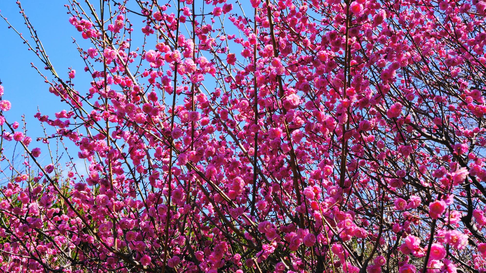 咲き乱れる満開の梅の花