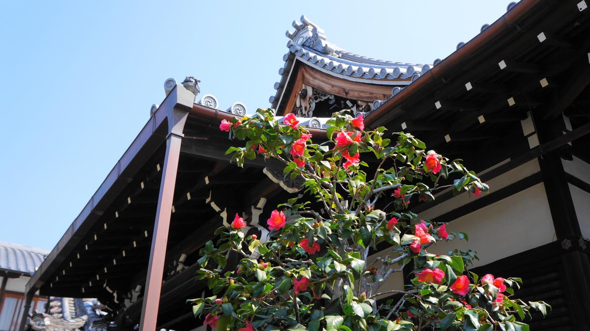 青空と本堂を彩る鮮やかな赤い椿