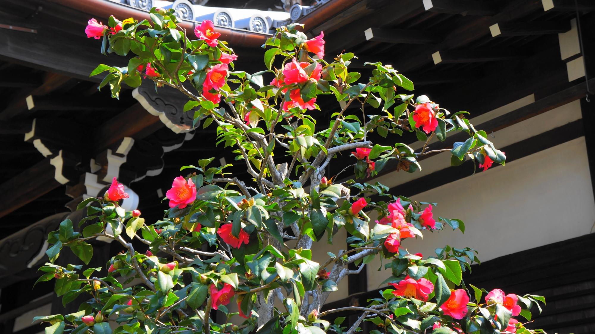本堂前で咲く椿