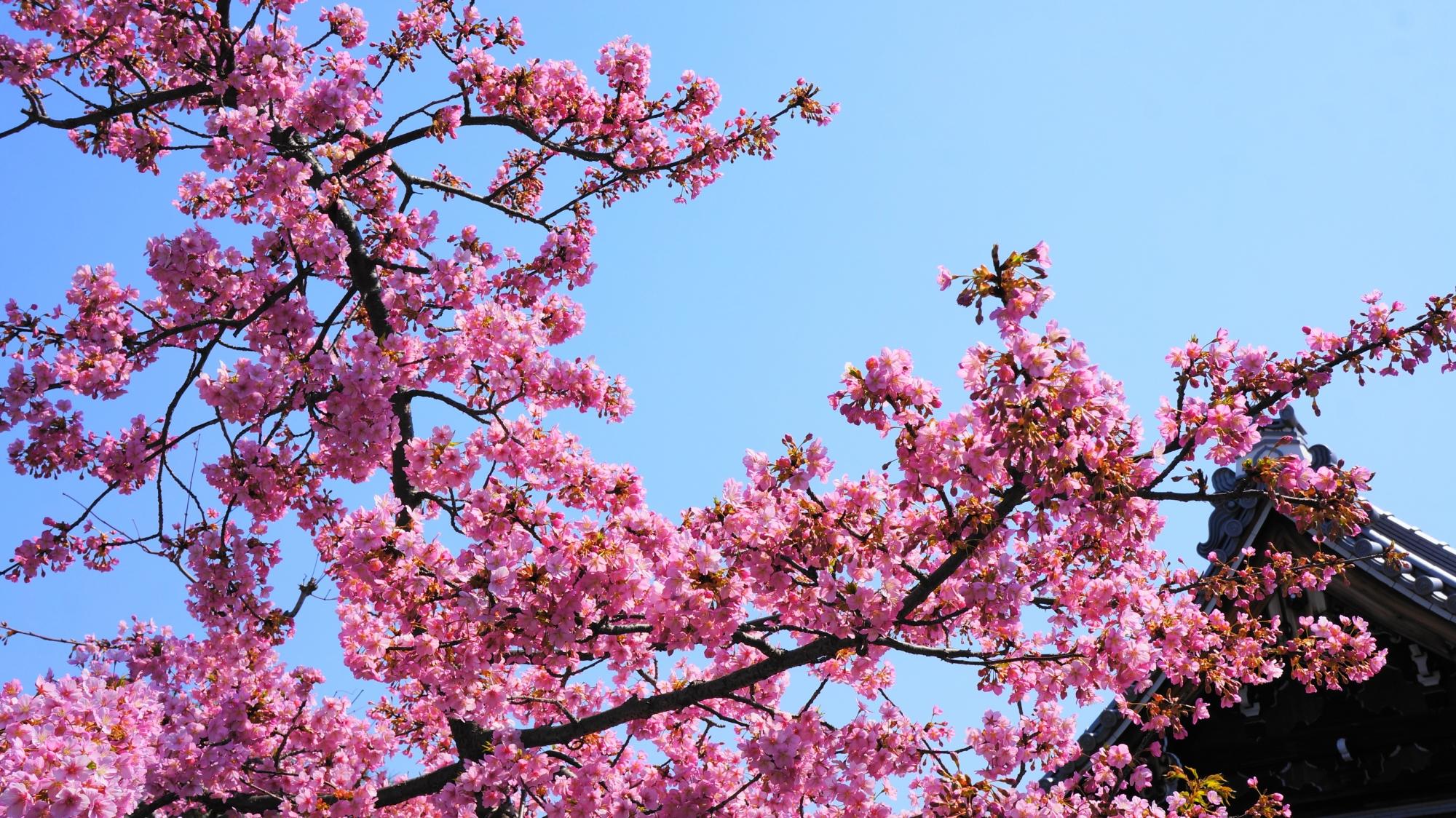 伽藍や境内を春色に染める満開の河津桜
