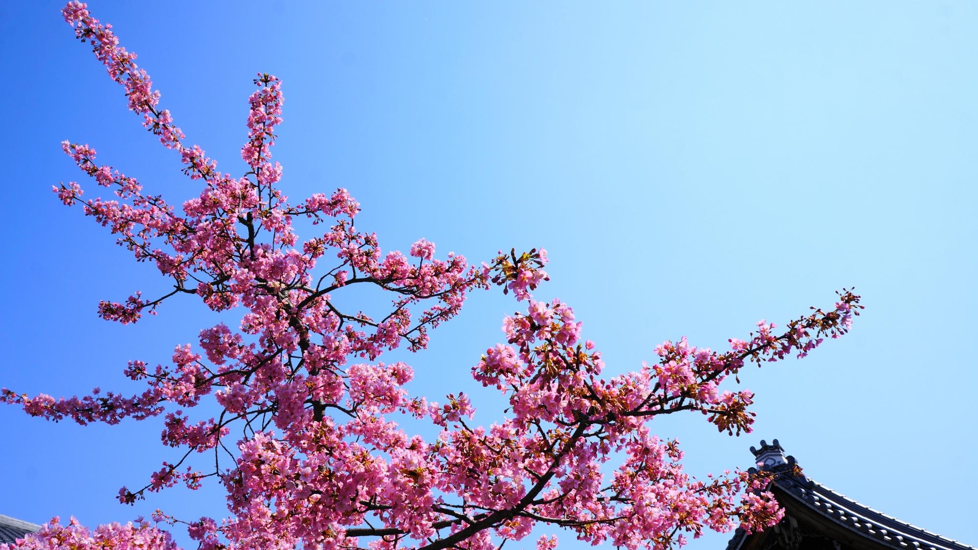 透きとおるような青空を彩る鮮やかなピンクの桜