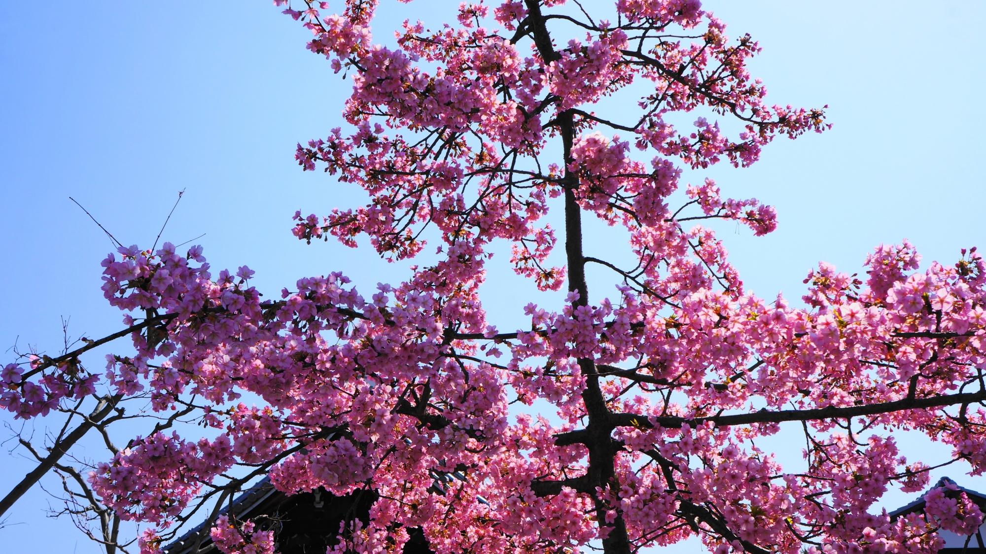 たくさんの花をつけて咲き誇る河津桜