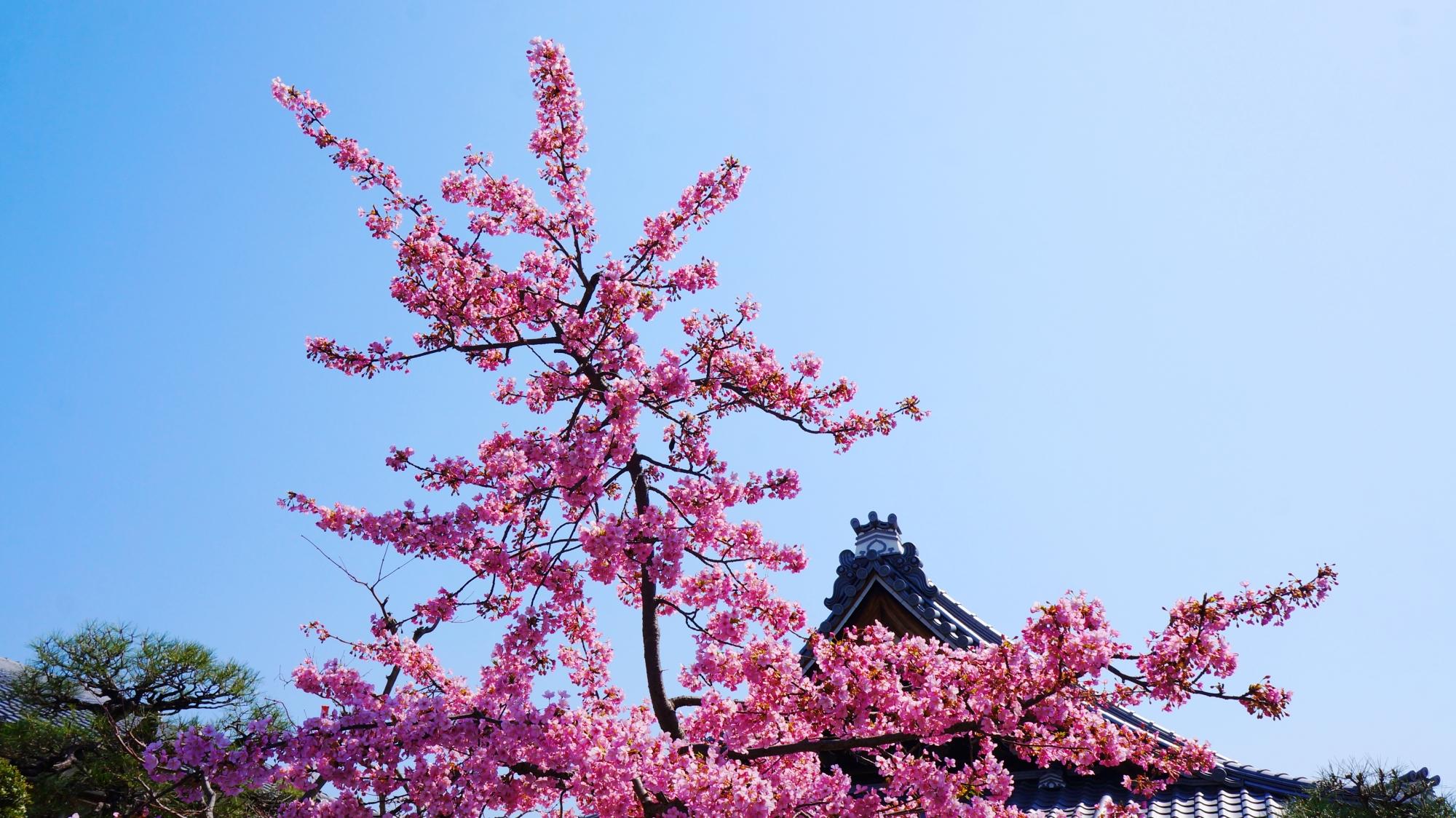 蓮光寺の早咲きの河津桜