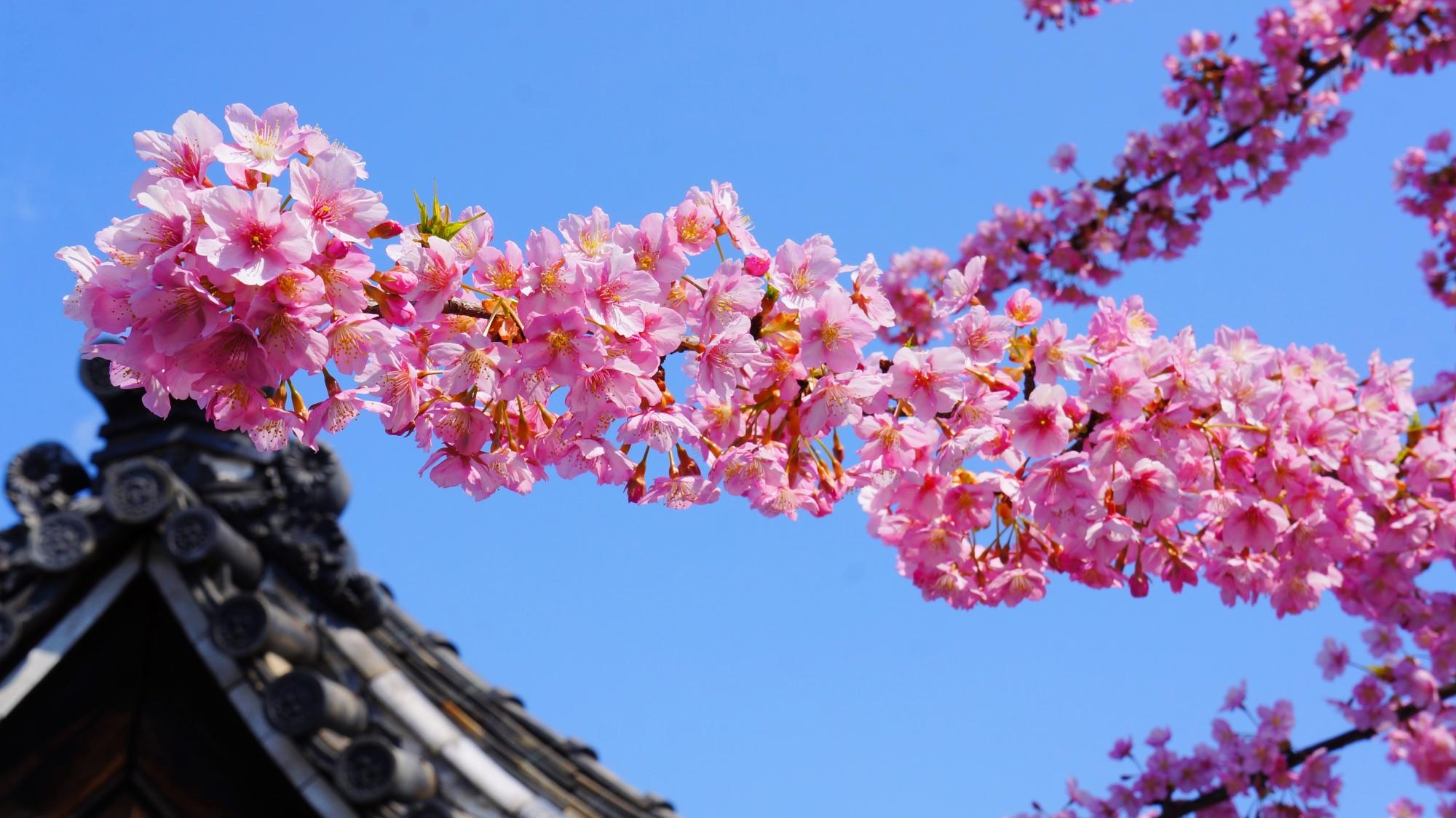 長く伸びる少し変わった形の枝をした蓮光寺の河津桜
