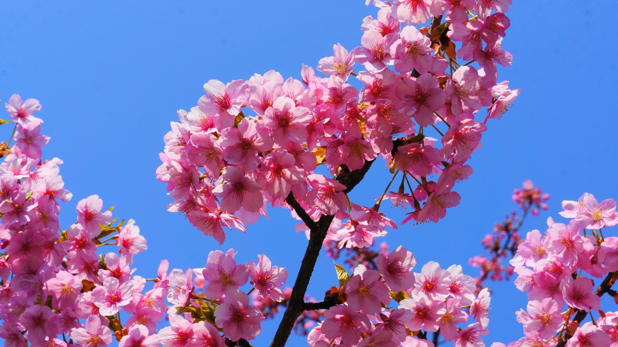 太陽をいっぱいに浴びた繊細で可愛いピンクの花