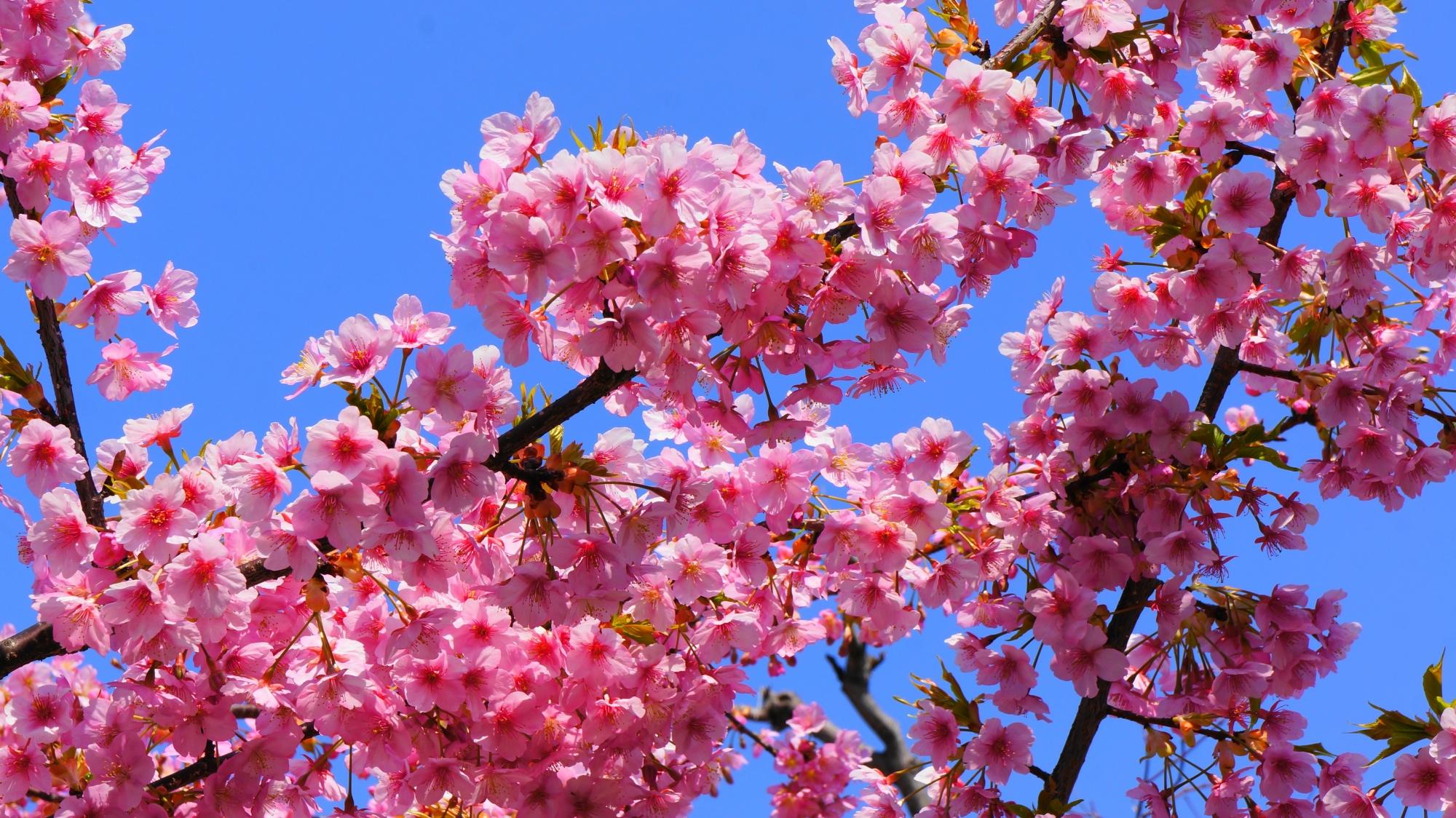 可憐な花をいっぱいつけて優雅に咲く蓮光寺の河津桜