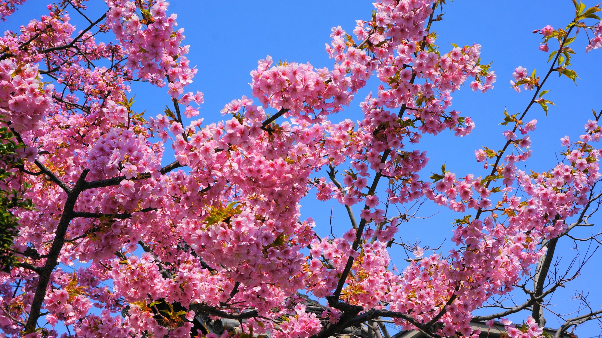 蓮光寺の素晴らしい河津桜と春の情景
