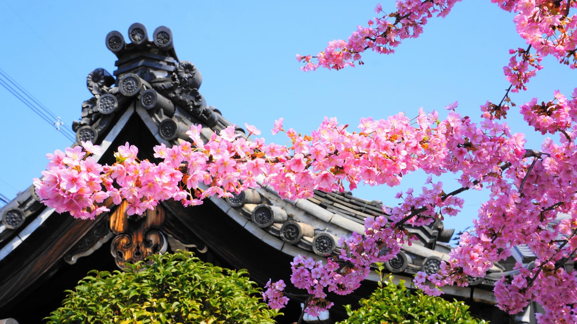 屋根や緑が入ると雰囲気が変わる蓮光寺の桜