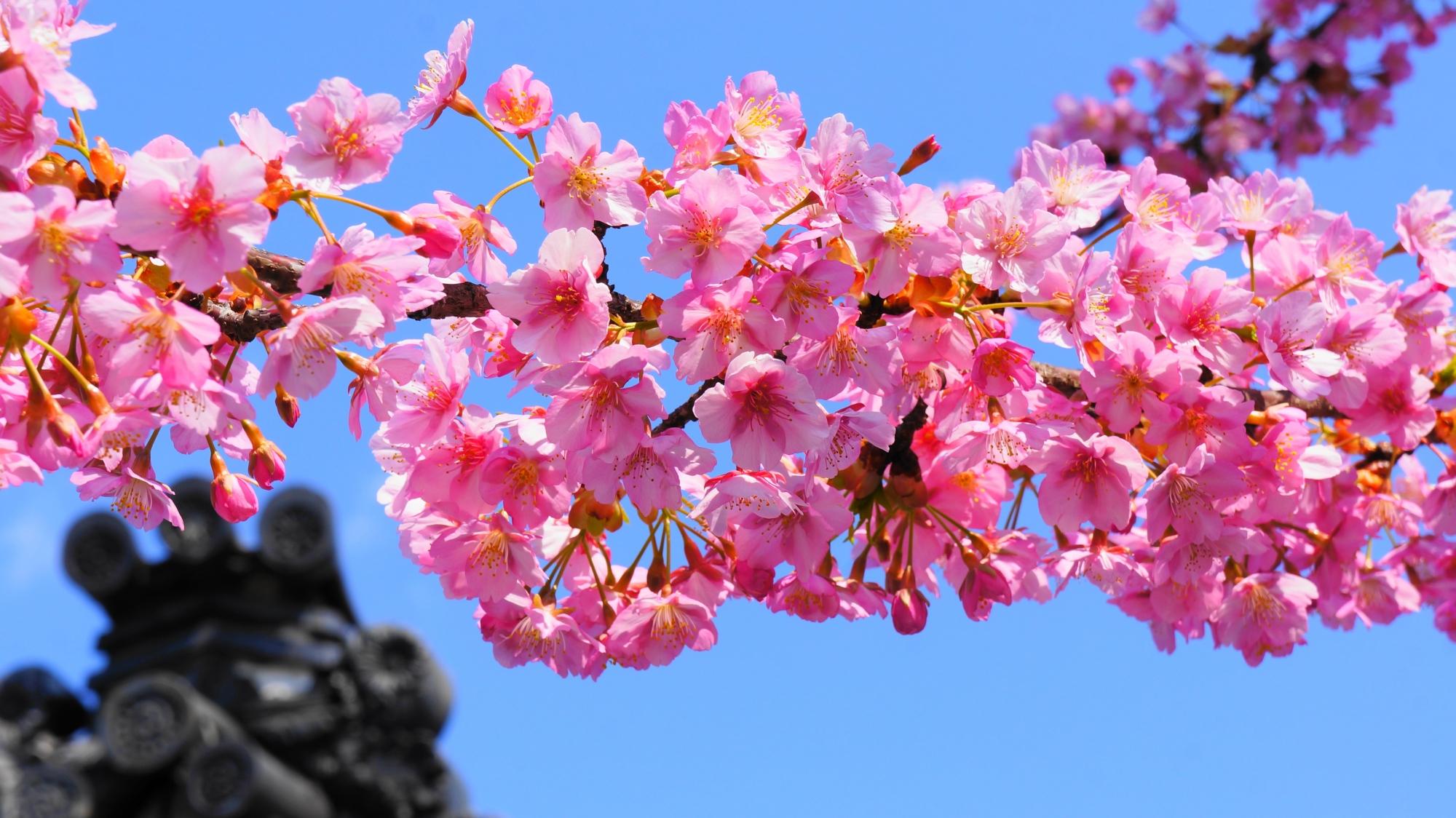 煌びやかに咲き誇る河津桜につつまれた春の蓮光寺