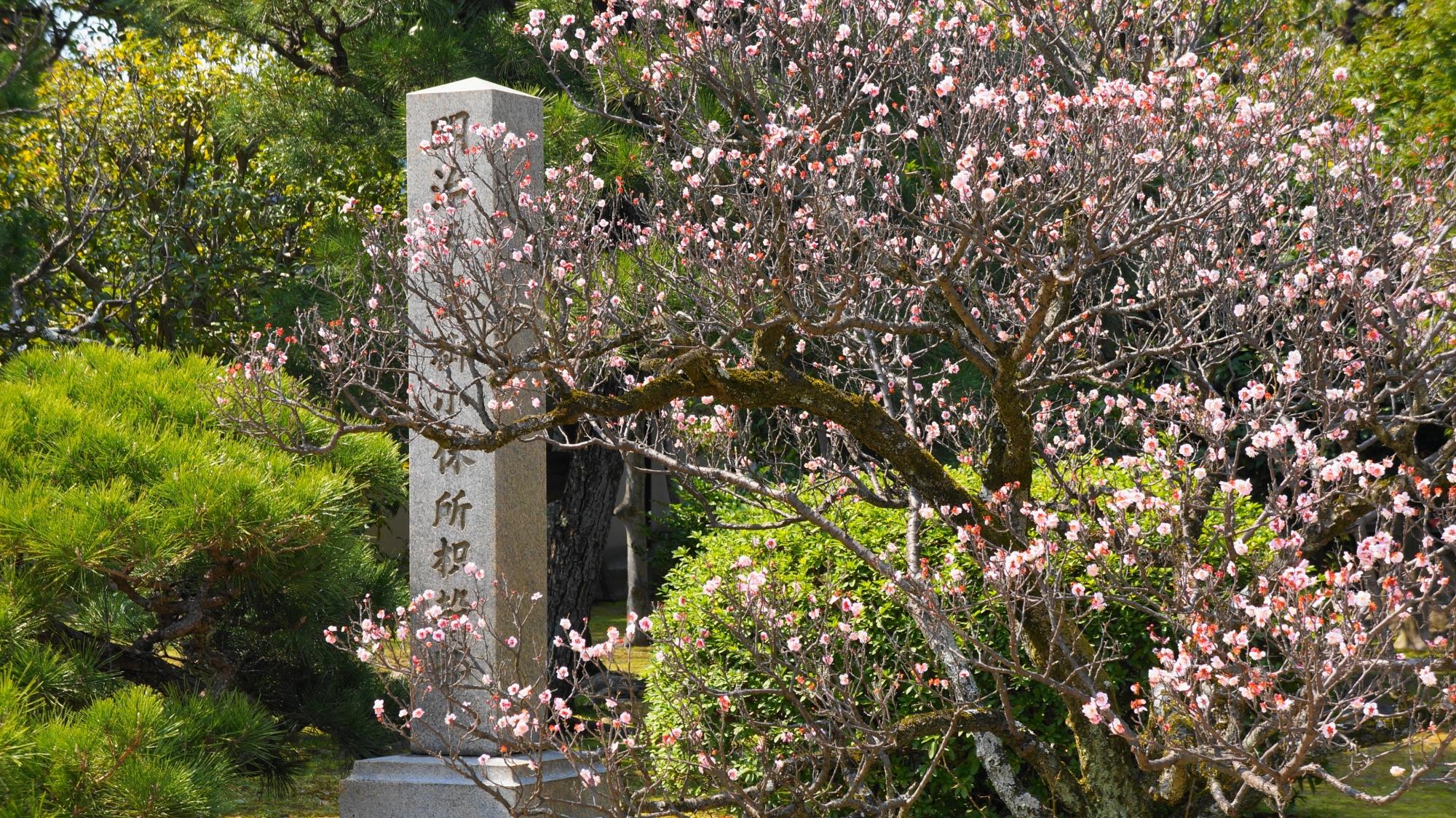渉成園の芸術的な姿と枝の風情ある梅