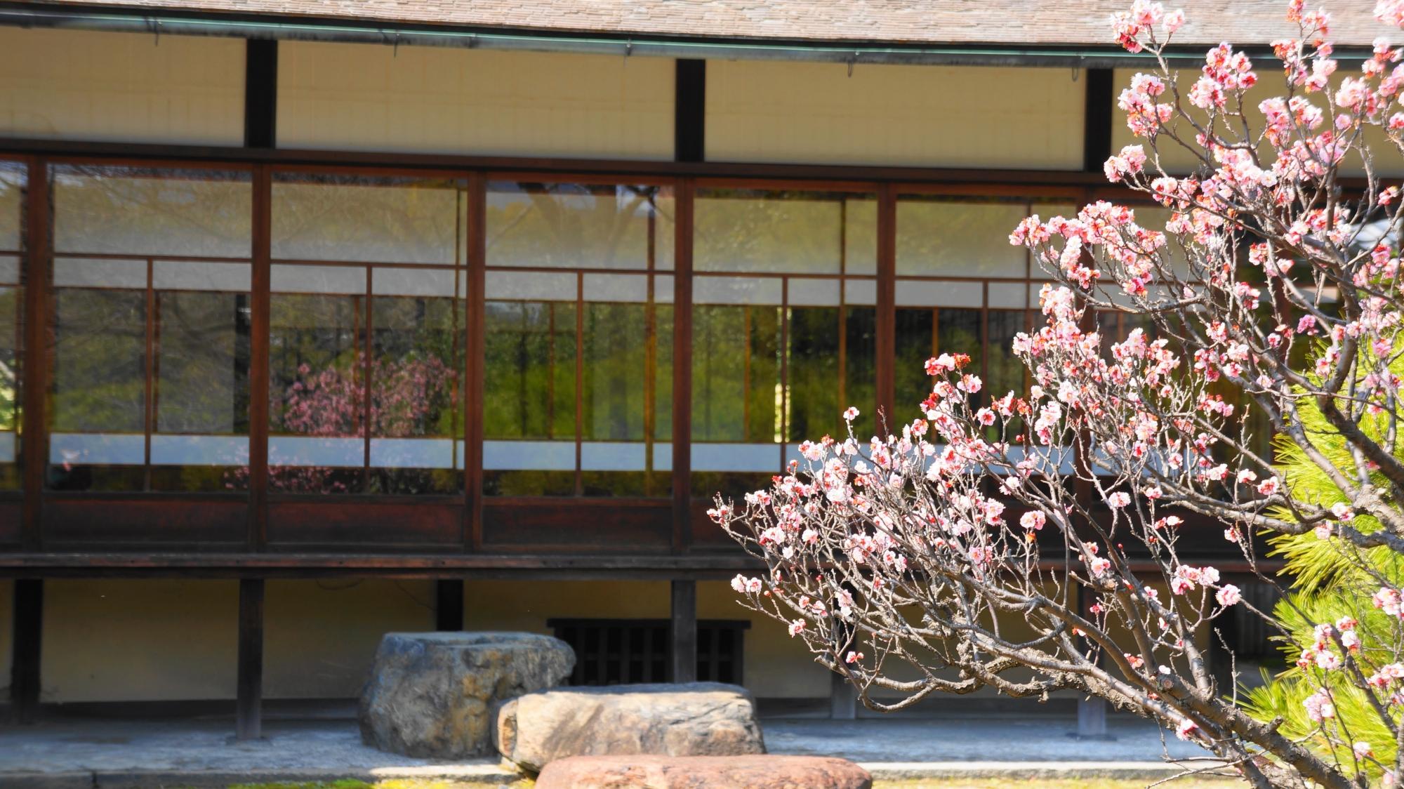 閬風亭のガラスに反射する咲き誇る梅の花