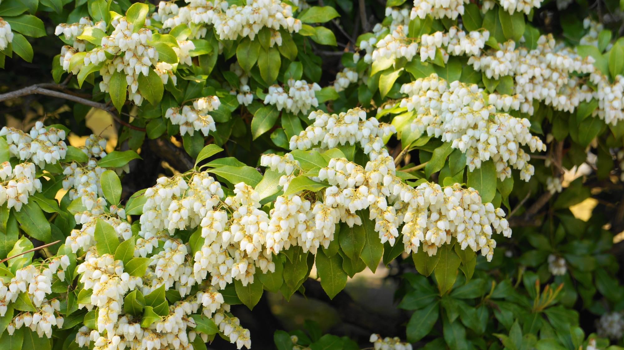 淡い白色の花をいっぱいつけて咲く渉成園のアセビ