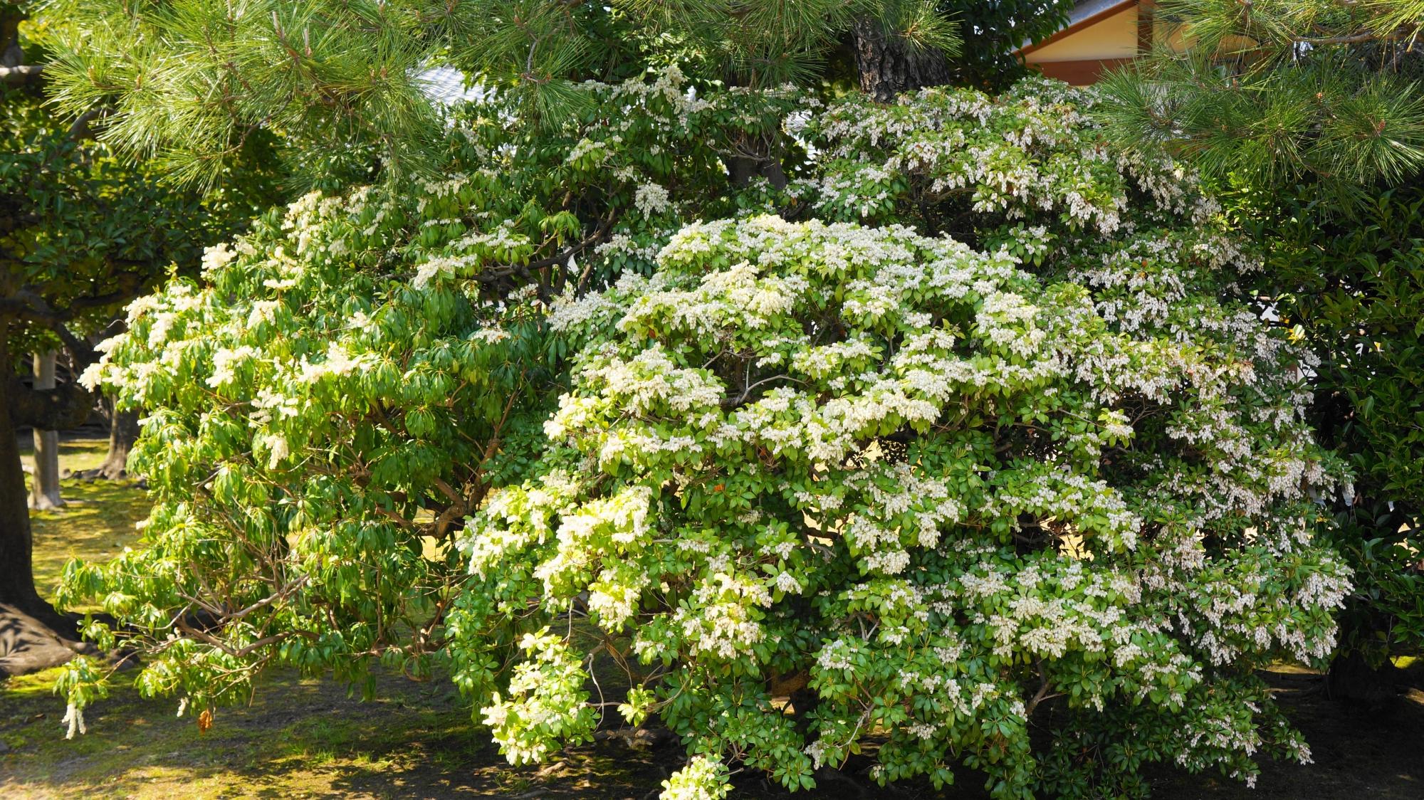 閬風亭周辺で咲くアセビ