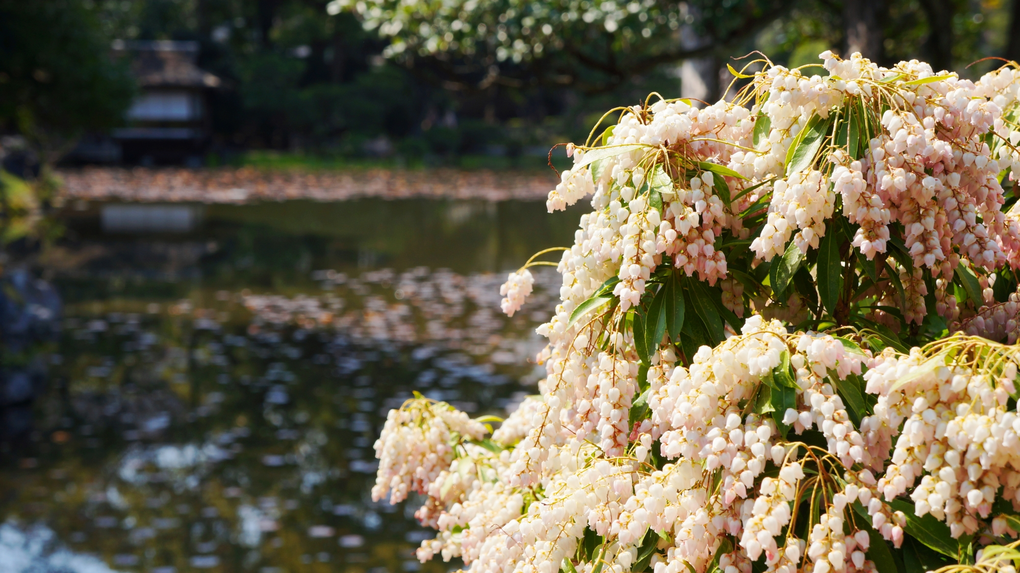 印月池を彩る溢れんばかりのアセビの花