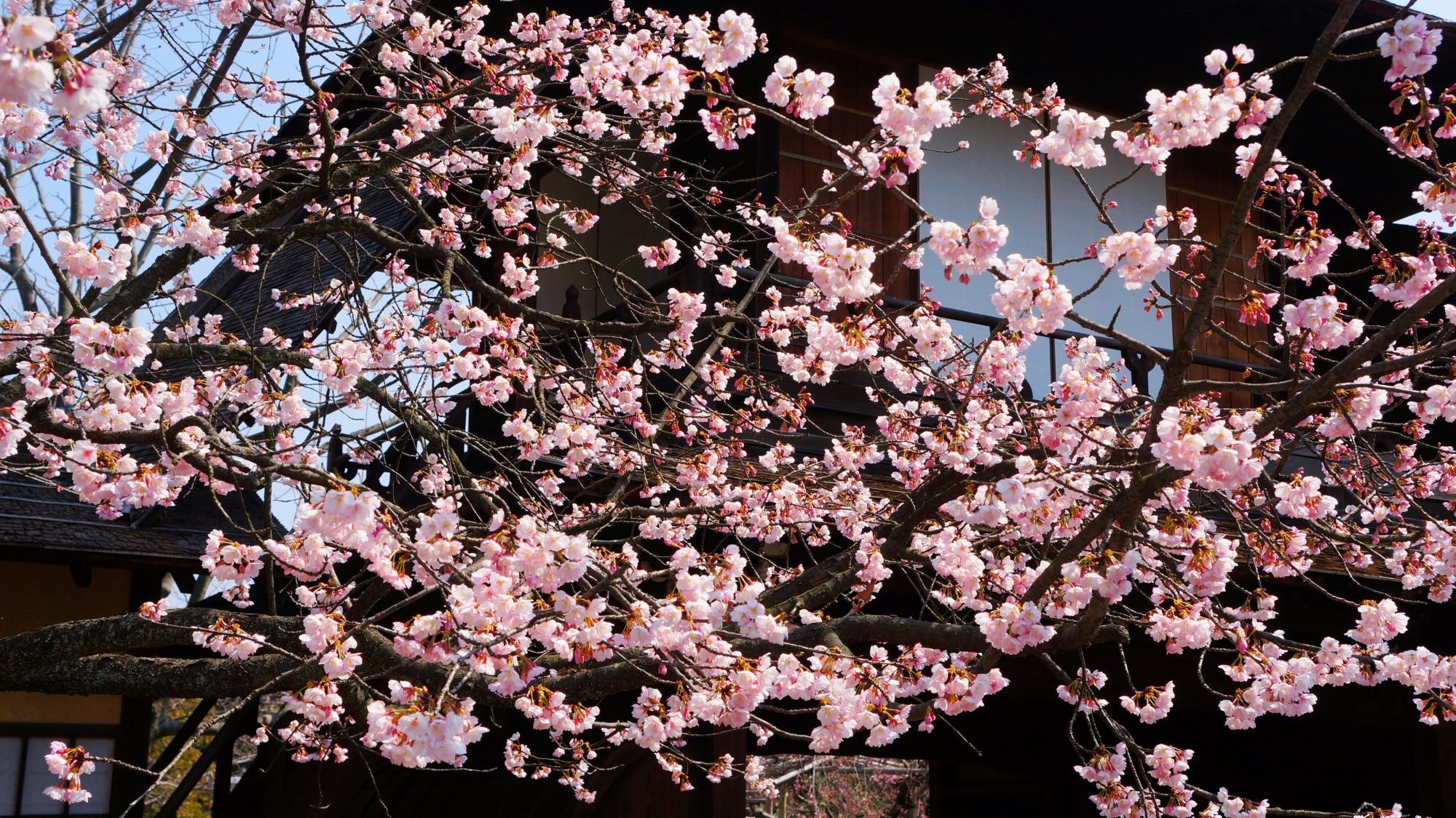 可憐な花をいっぱいつけて咲き誇る修善寺寒桜