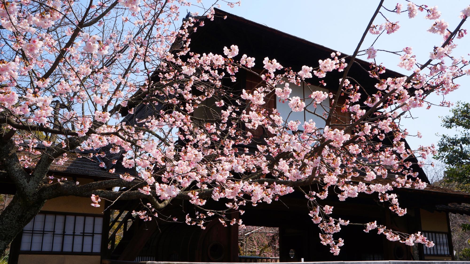 傍花閣を春色に彩る満開の修善寺寒桜