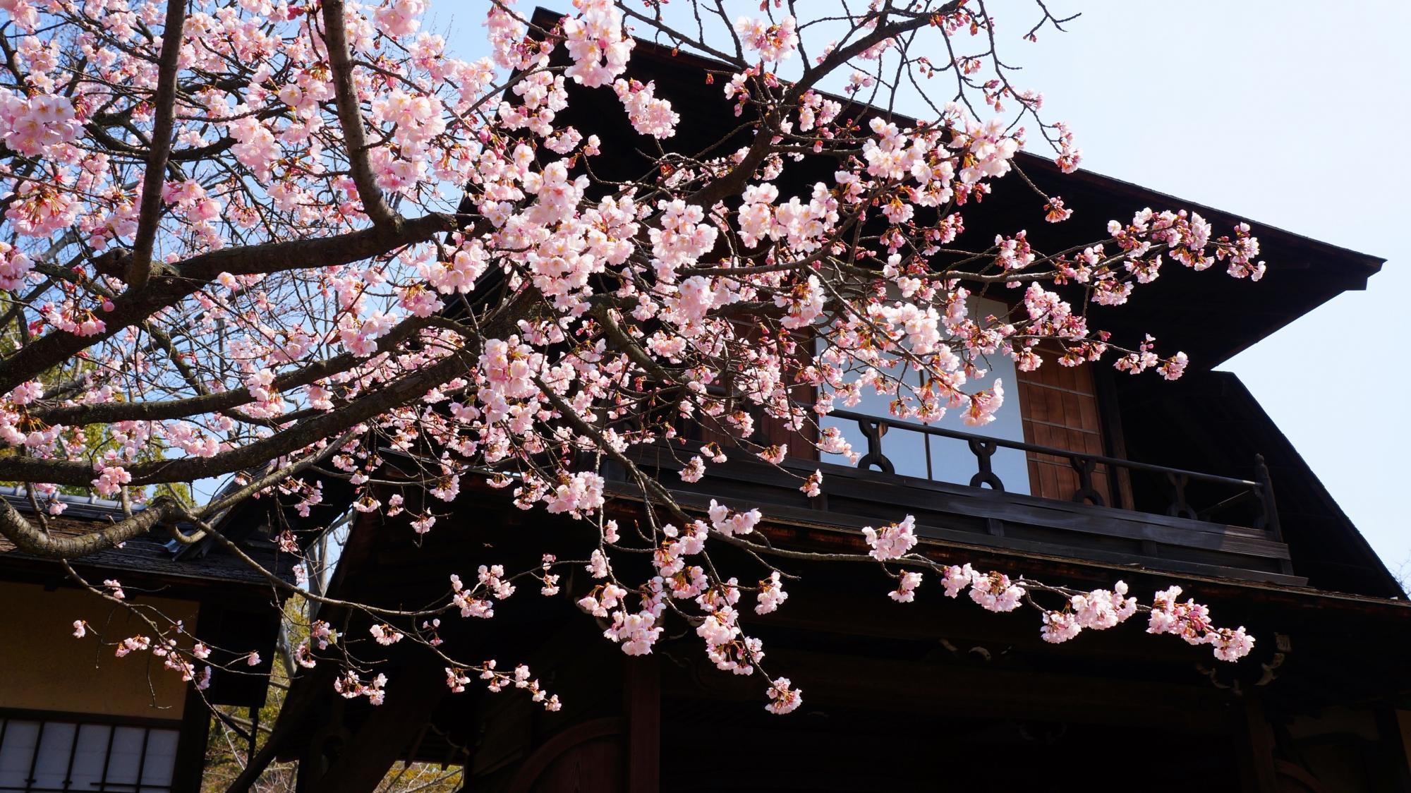 傍花閣と修善寺寒桜の絵になる春の風景