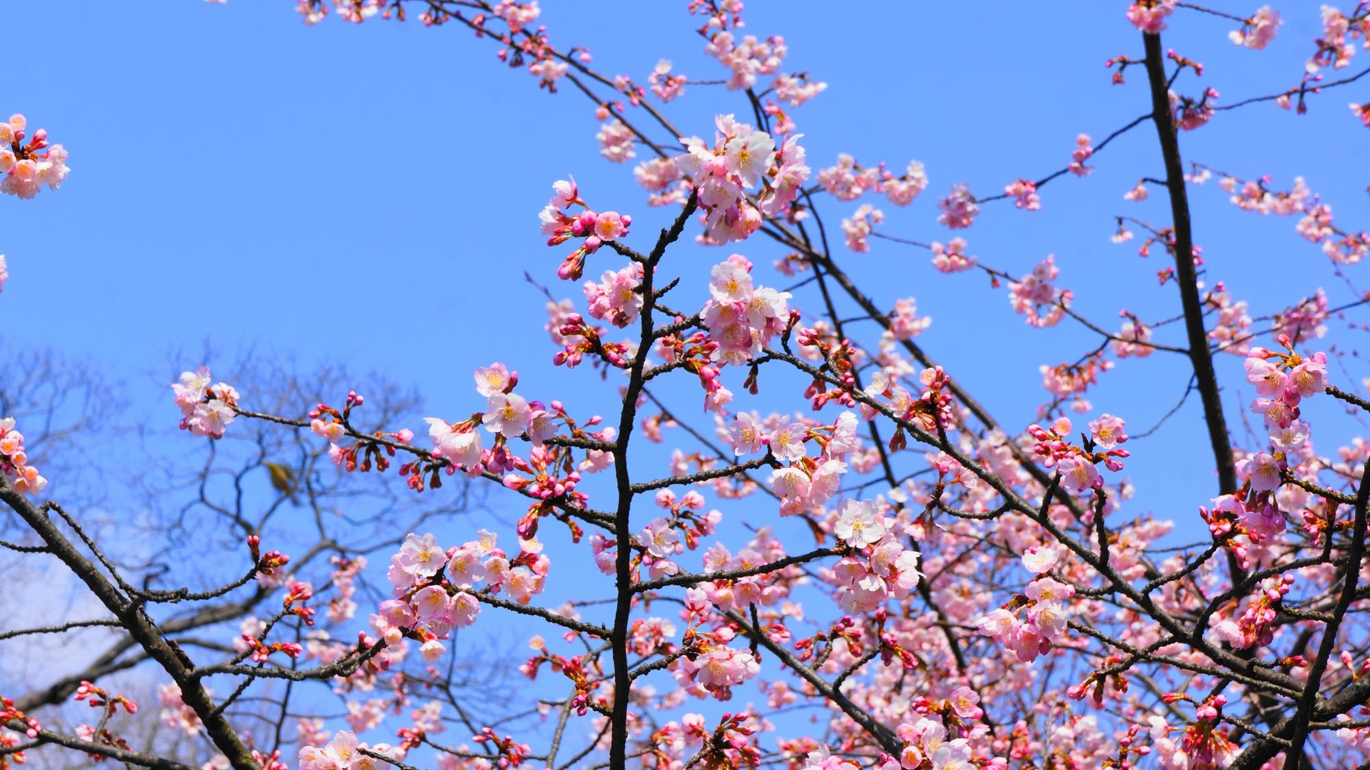 青空に映える美しいピンクの桜の花