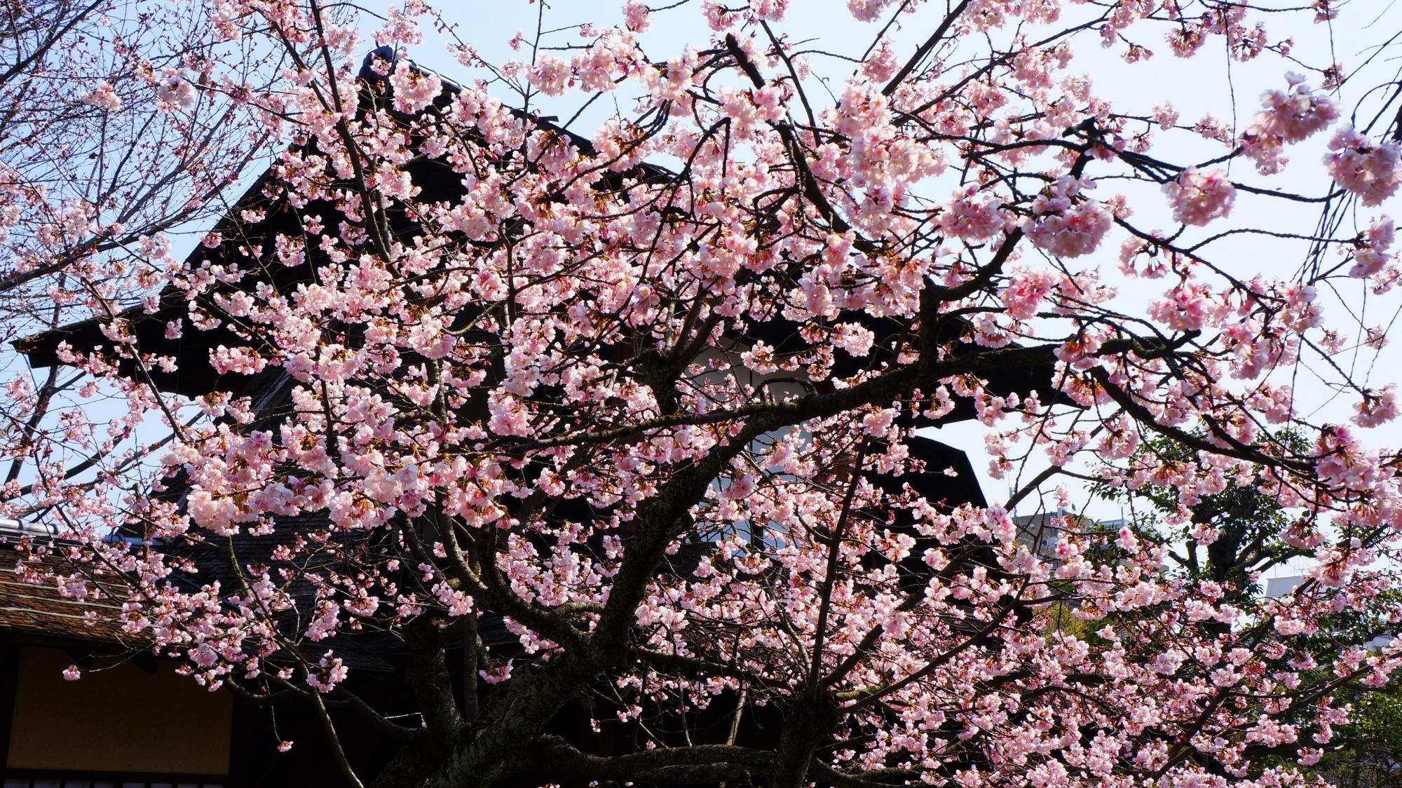 風情ある傍花閣を華やかに彩る寒桜