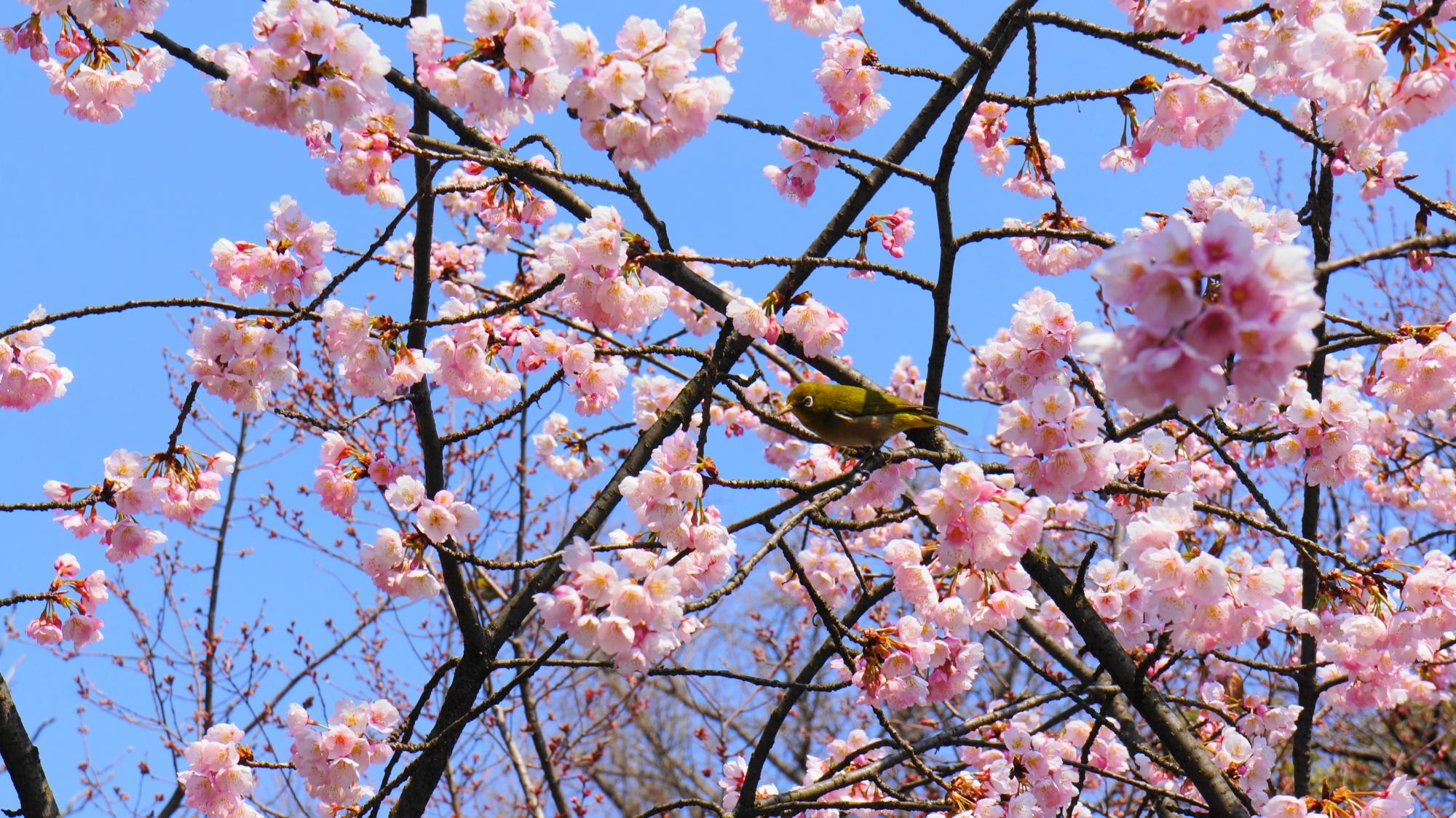 渉成園の桜の花の中で戯れるメジロ