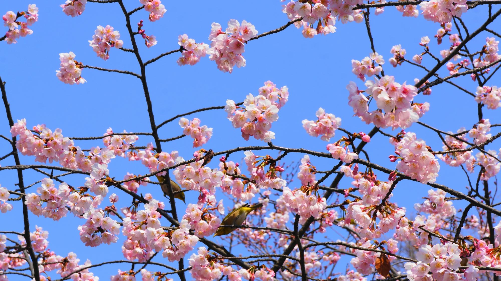 渉成園の修善寺寒桜とメジロ