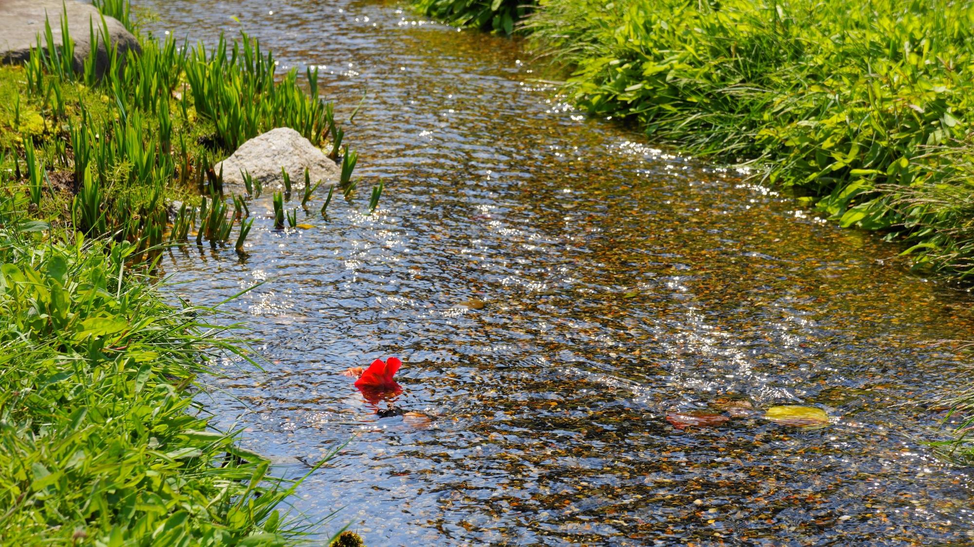 小川に流される鮮やかな散り椿