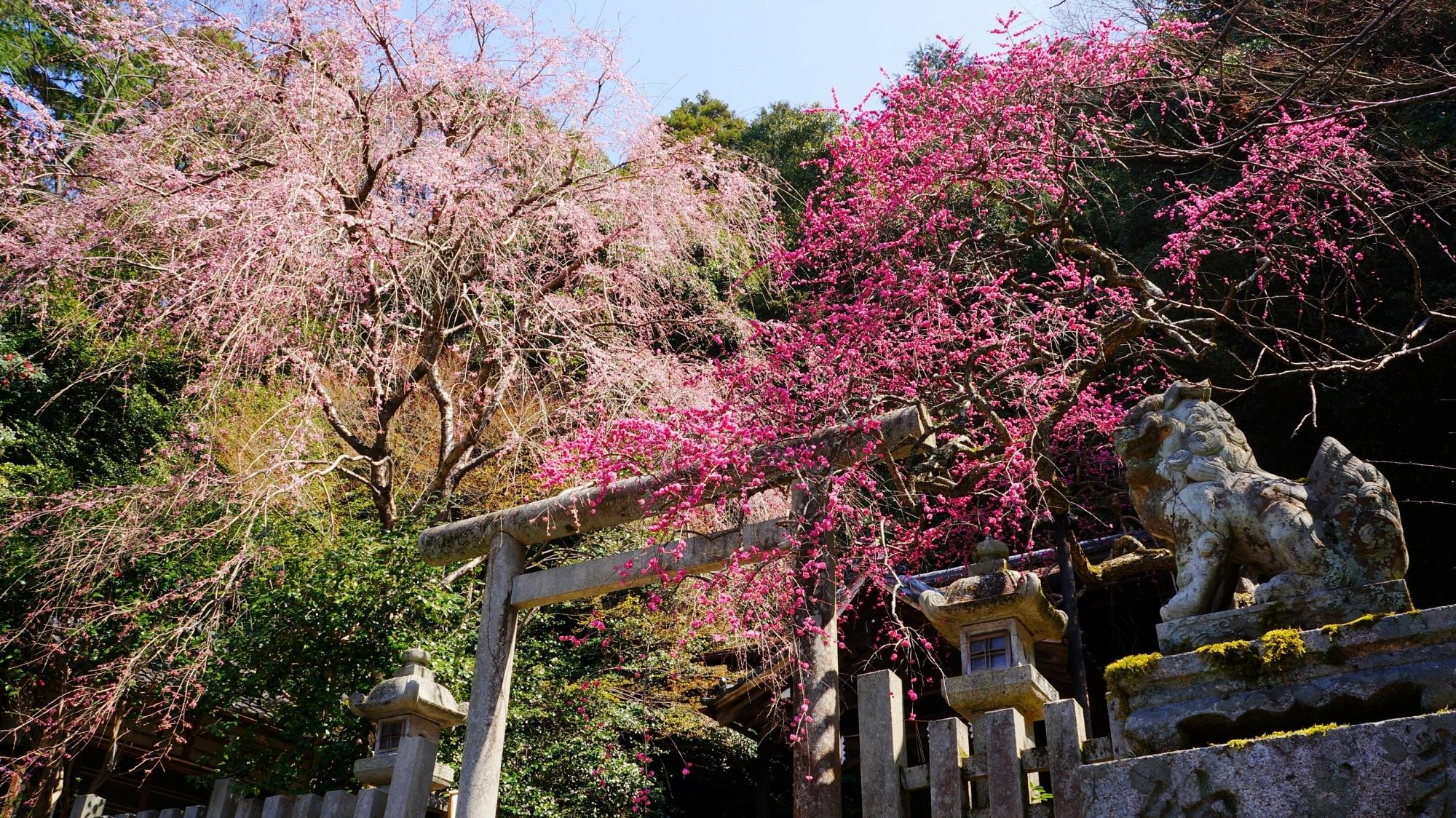 大豊神社 しだれ梅 ねずみの神社と春の彩り