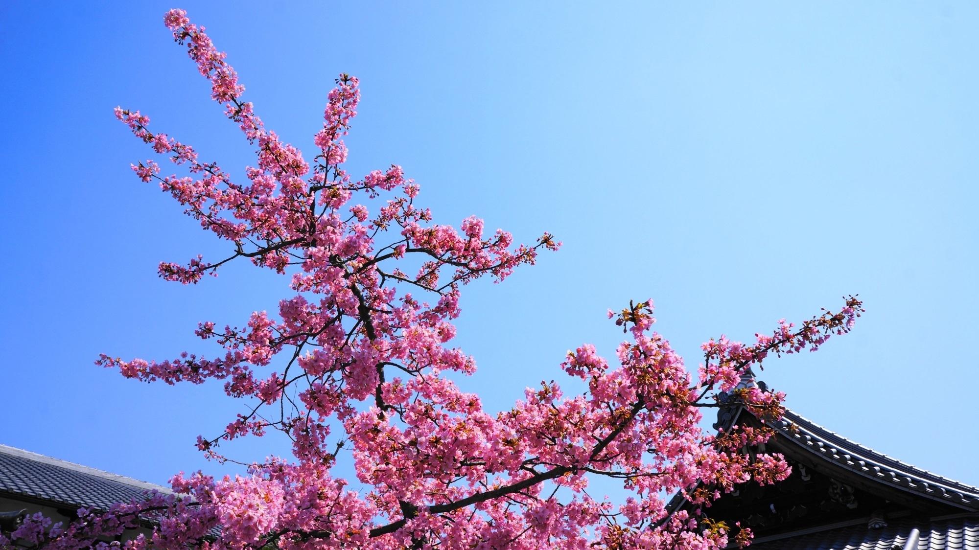 蓮光寺 河津桜 早咲きの鮮やかな桜と長曽我部盛親