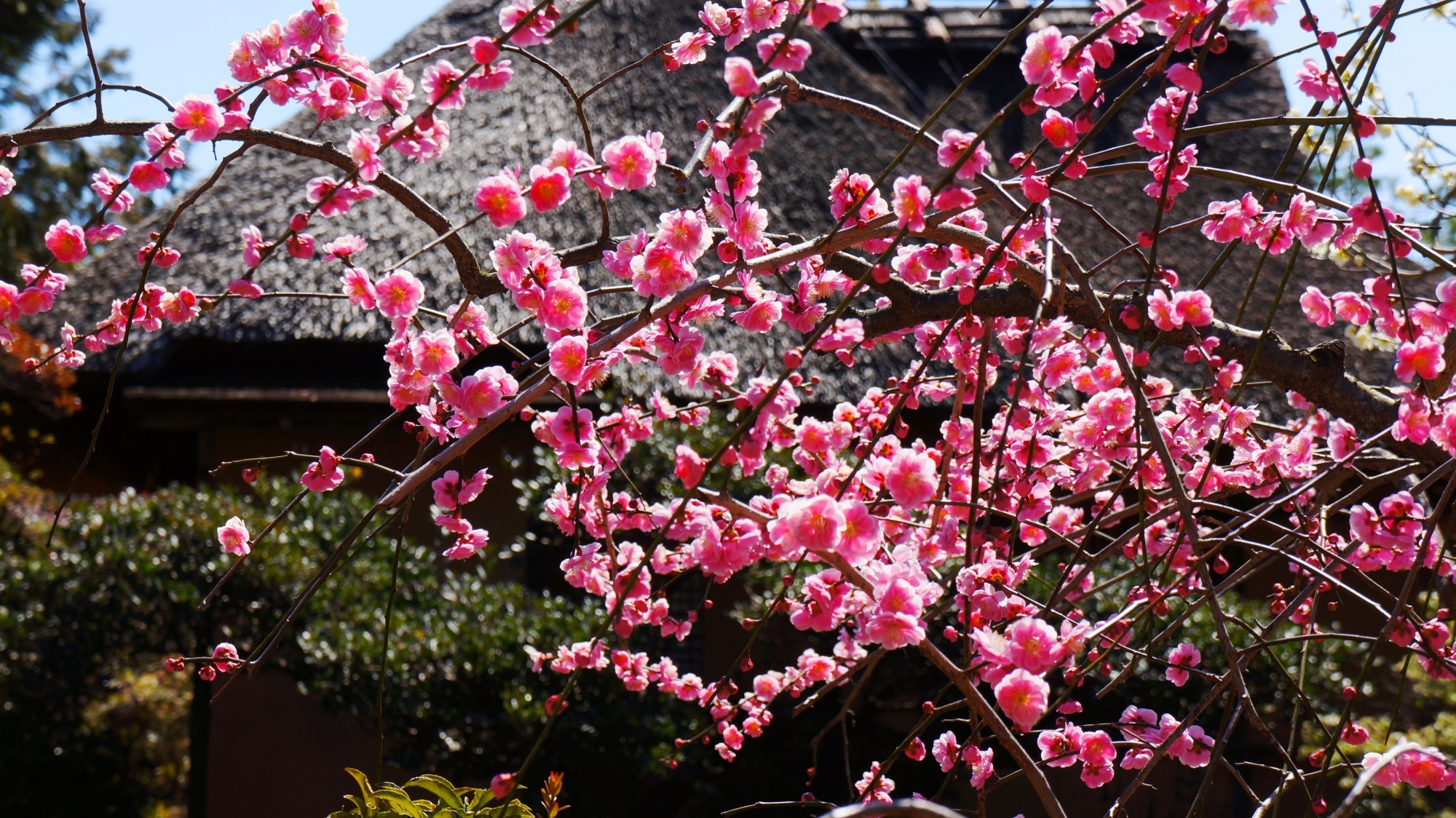 梅宮大社 梅 春先を彩る華やかな梅の花