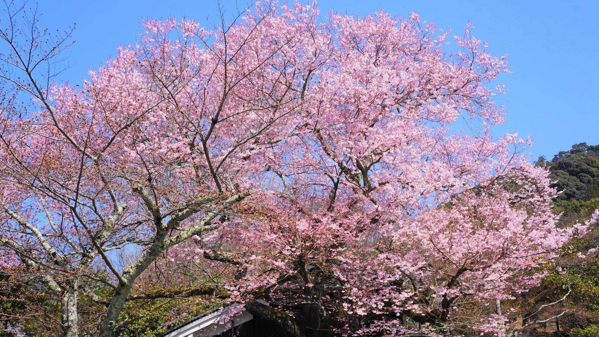 高画質 写真 哲学の道 早咲きの桜