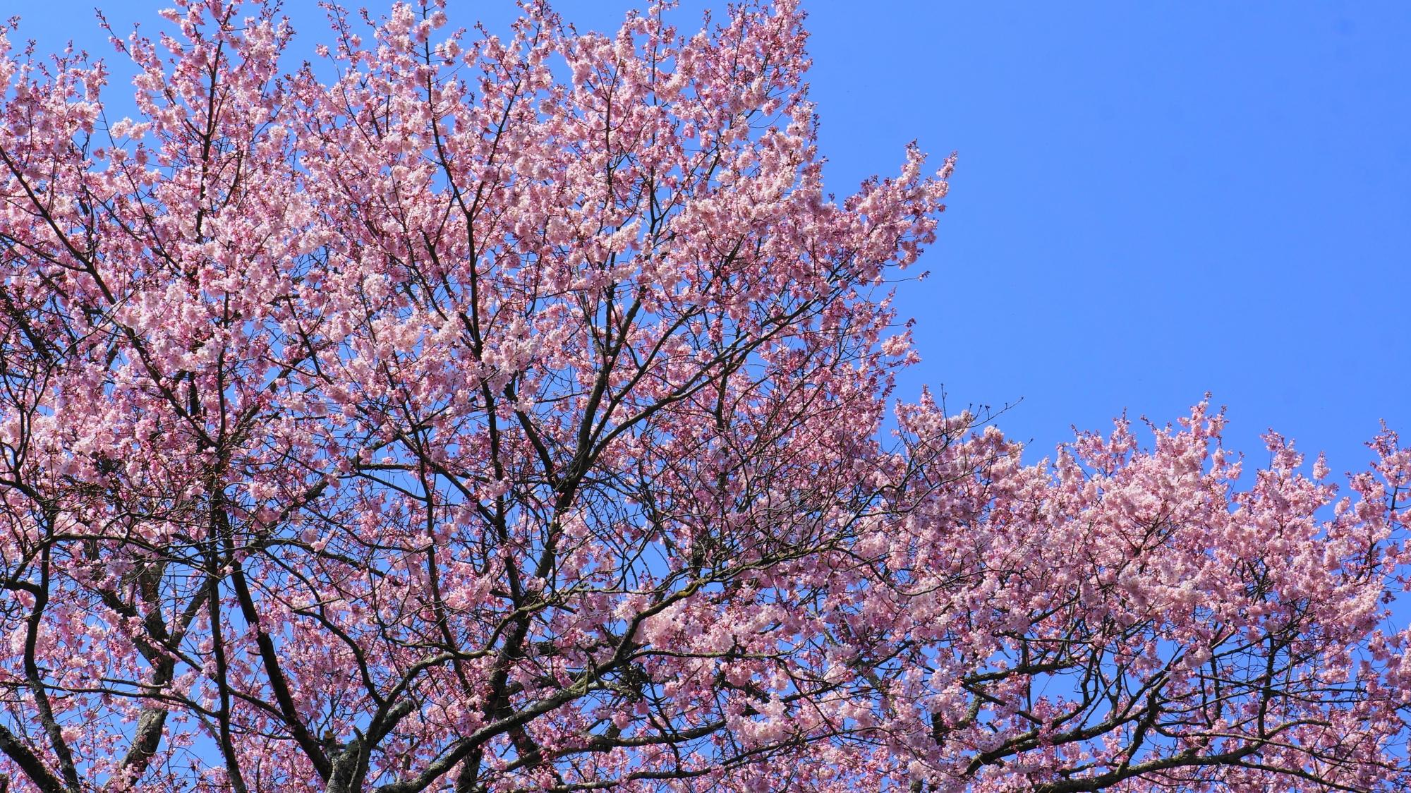 満開の哲学の道の早咲きの桜