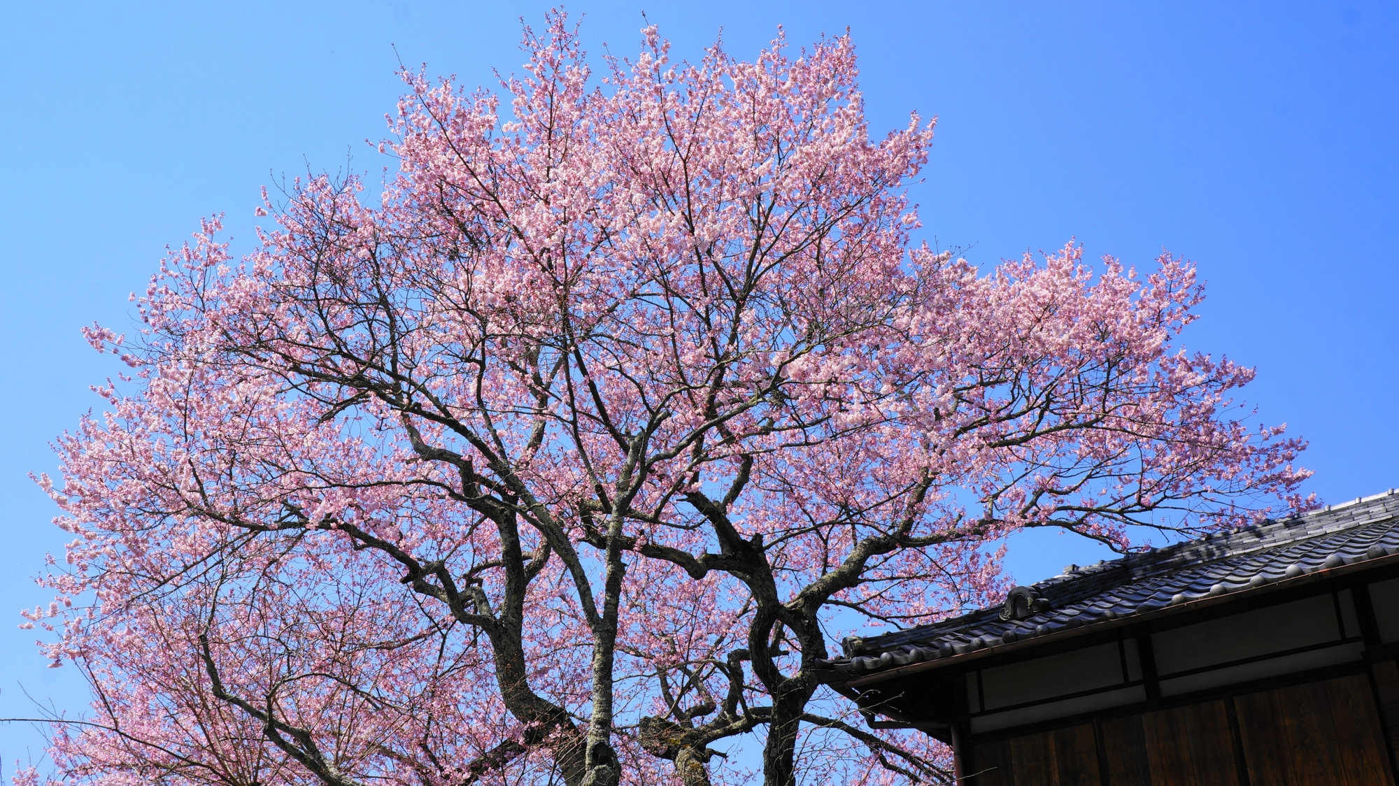 哲学の道の早咲きの桜