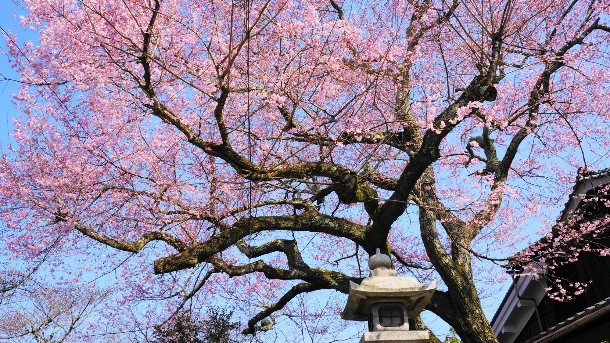 燈籠などの周囲の背景とも相まって風情ある春先の景色