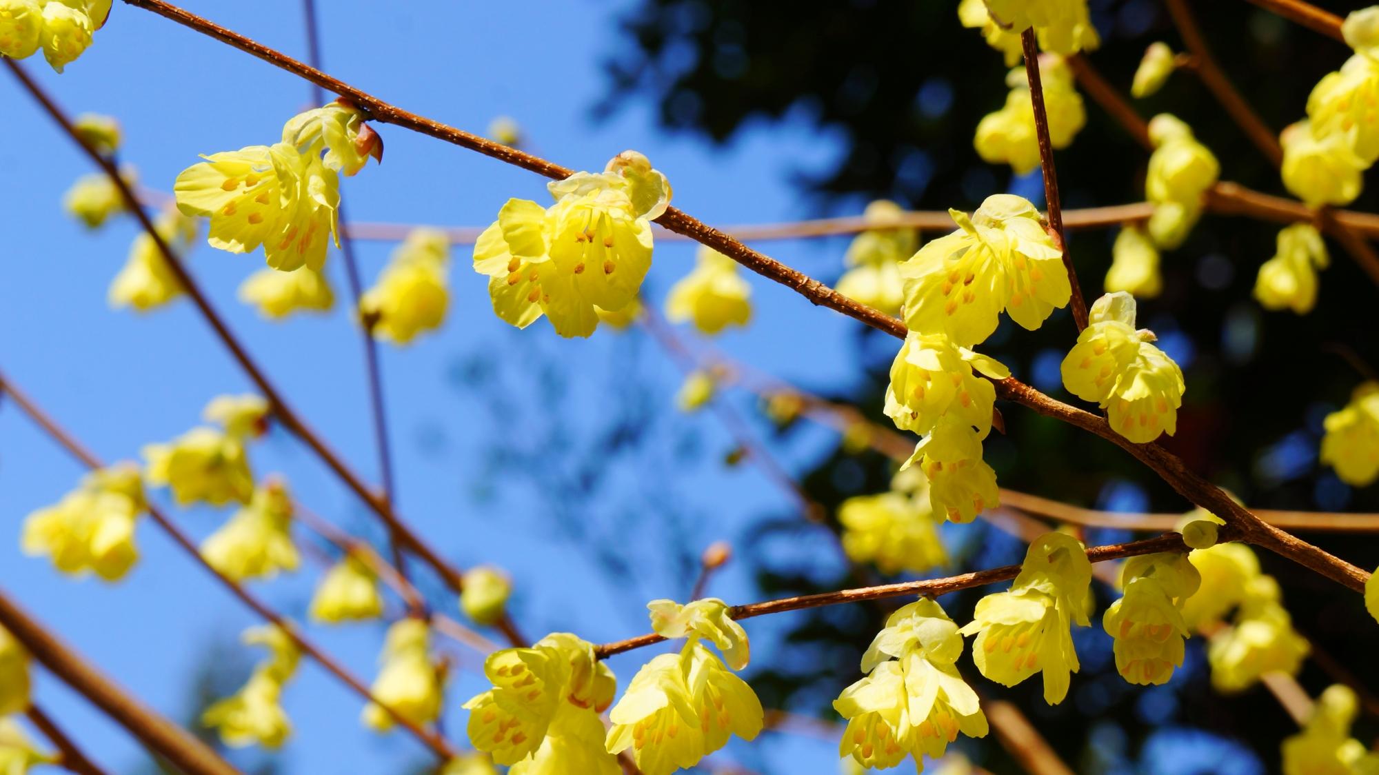 大豊神社の満開のロウバイの花