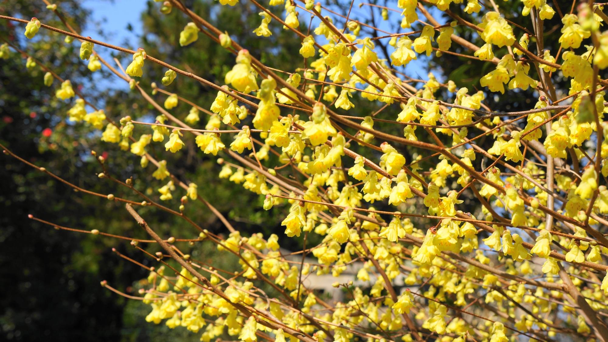 春先を彩るロウバイの鮮やかな黄色
