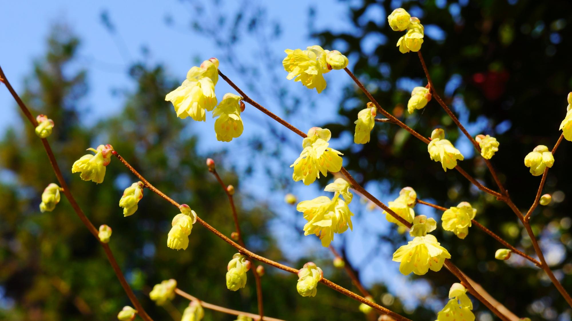 大豊神社の蝋梅の花